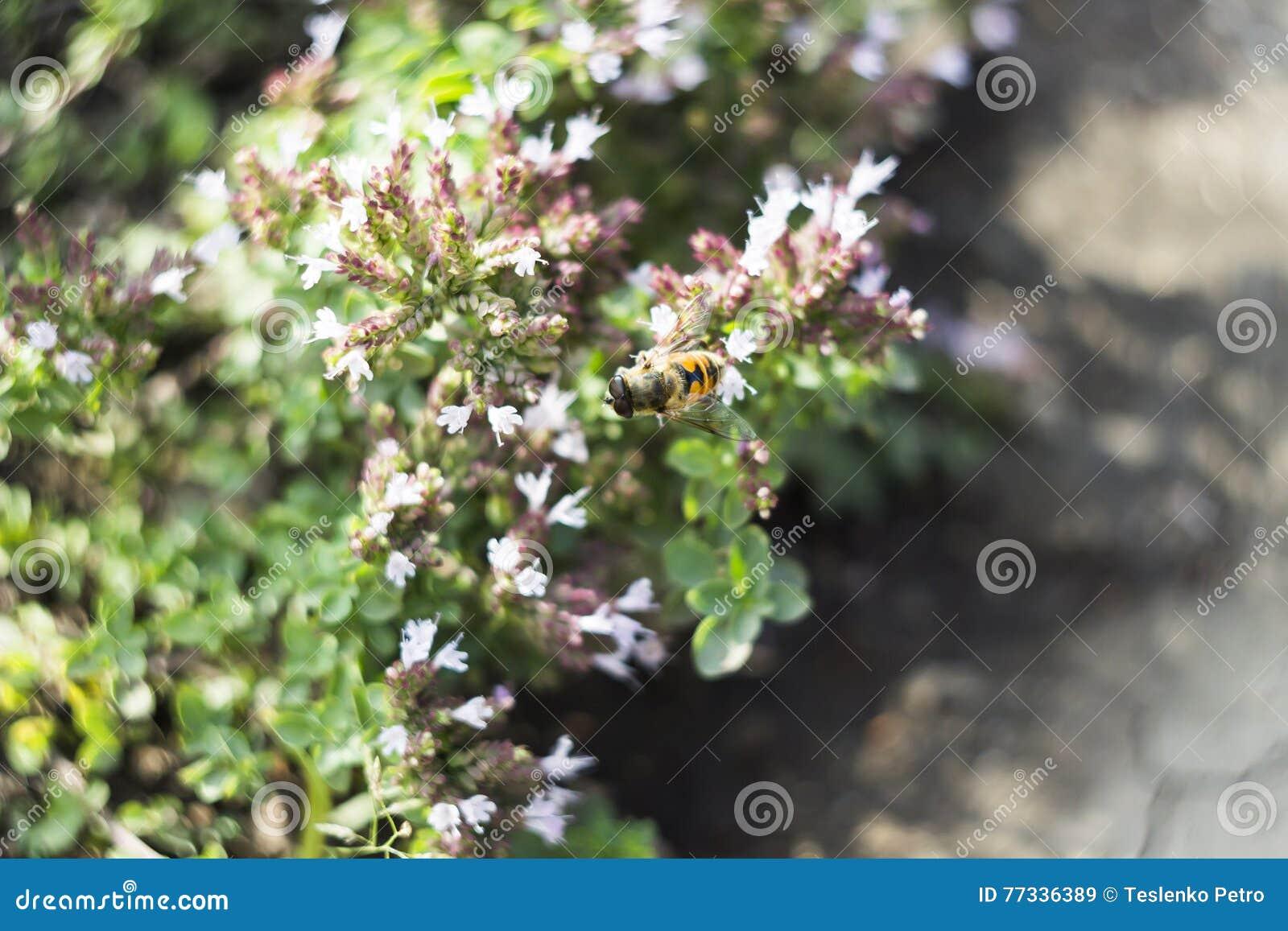 Mosca do zangão & x28; Tenax& x29 de Eristalis; na flor