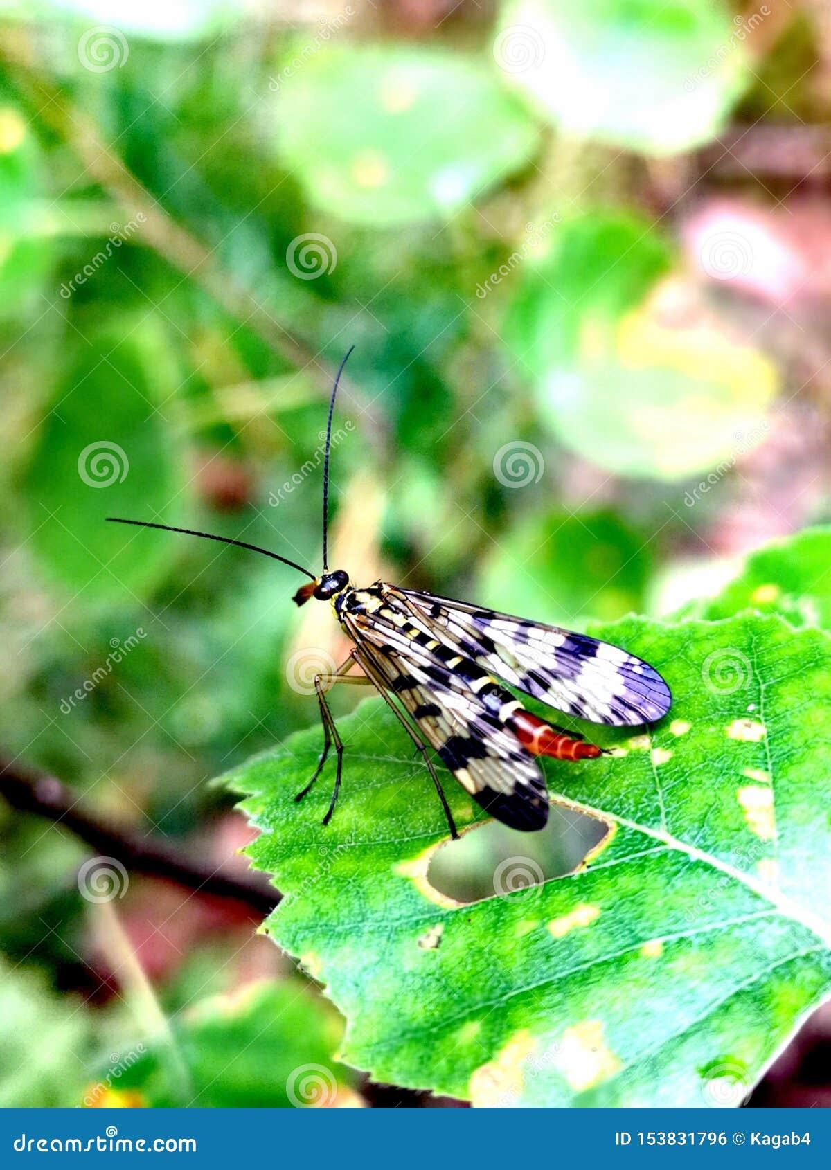 Mosca Mecoptera Panorpa do escorpião Communis