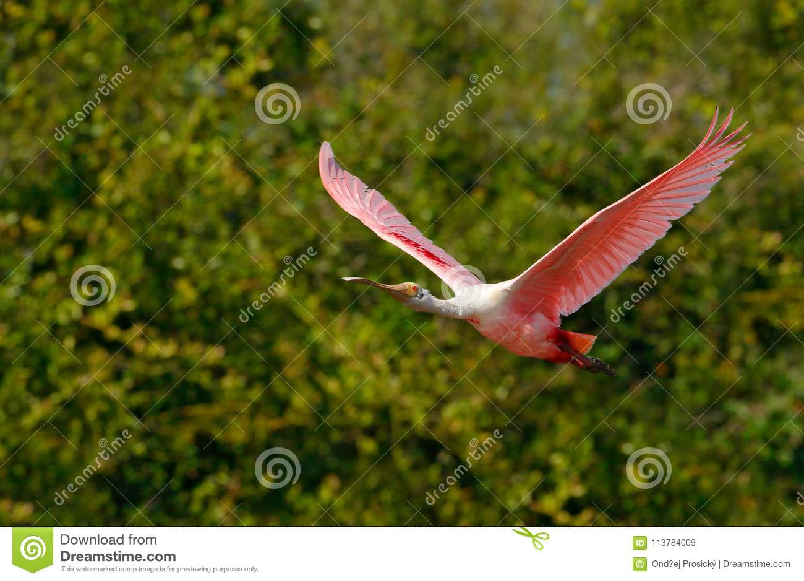 Mosca rosada del spoonbill Pájaro del Spoonbill Salida del sol hermosa con el pájaro, ajaja del Platalea, Spoonbill rosado, en la