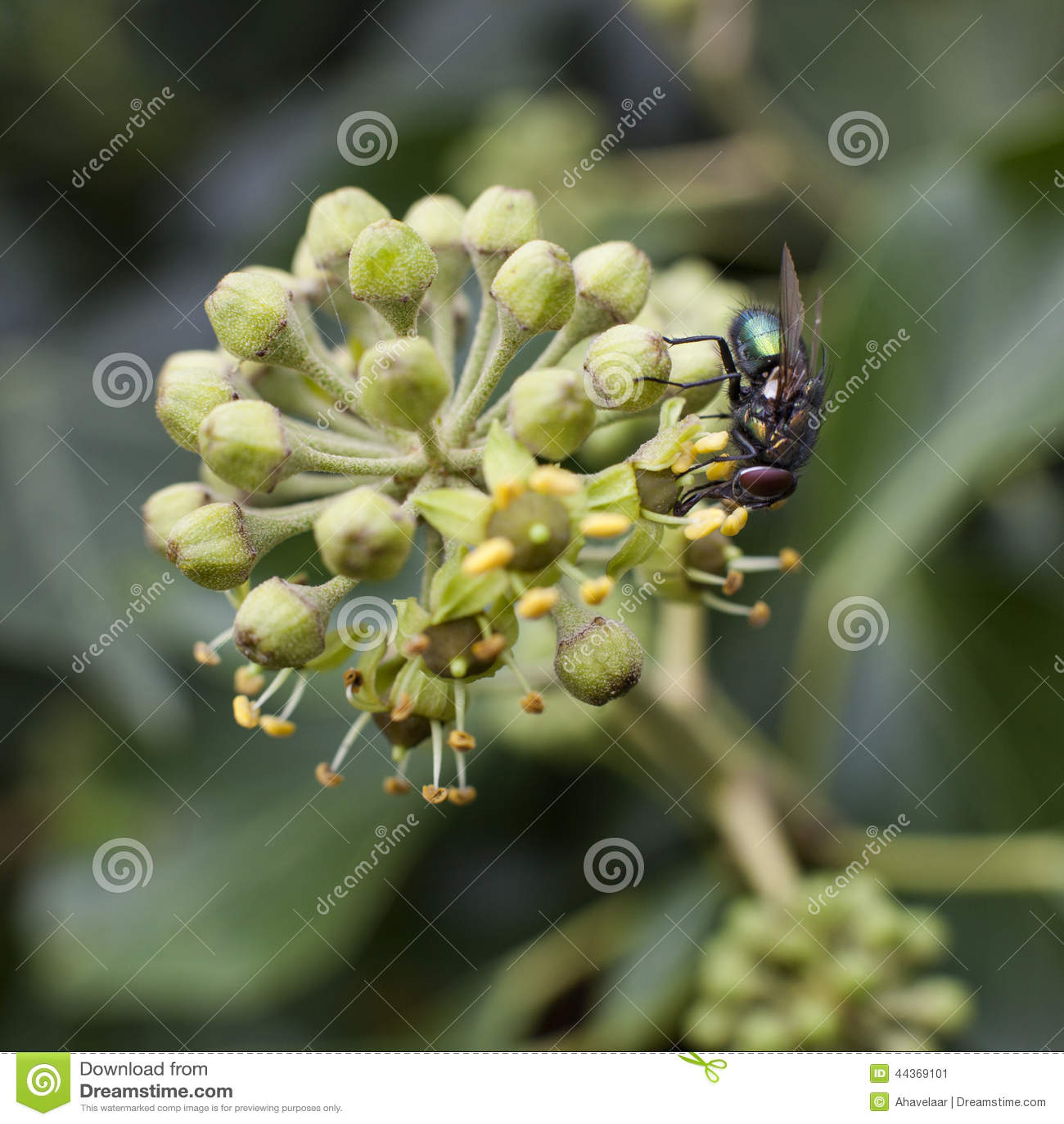 Mosca verde che si siede sul fiore del hedera