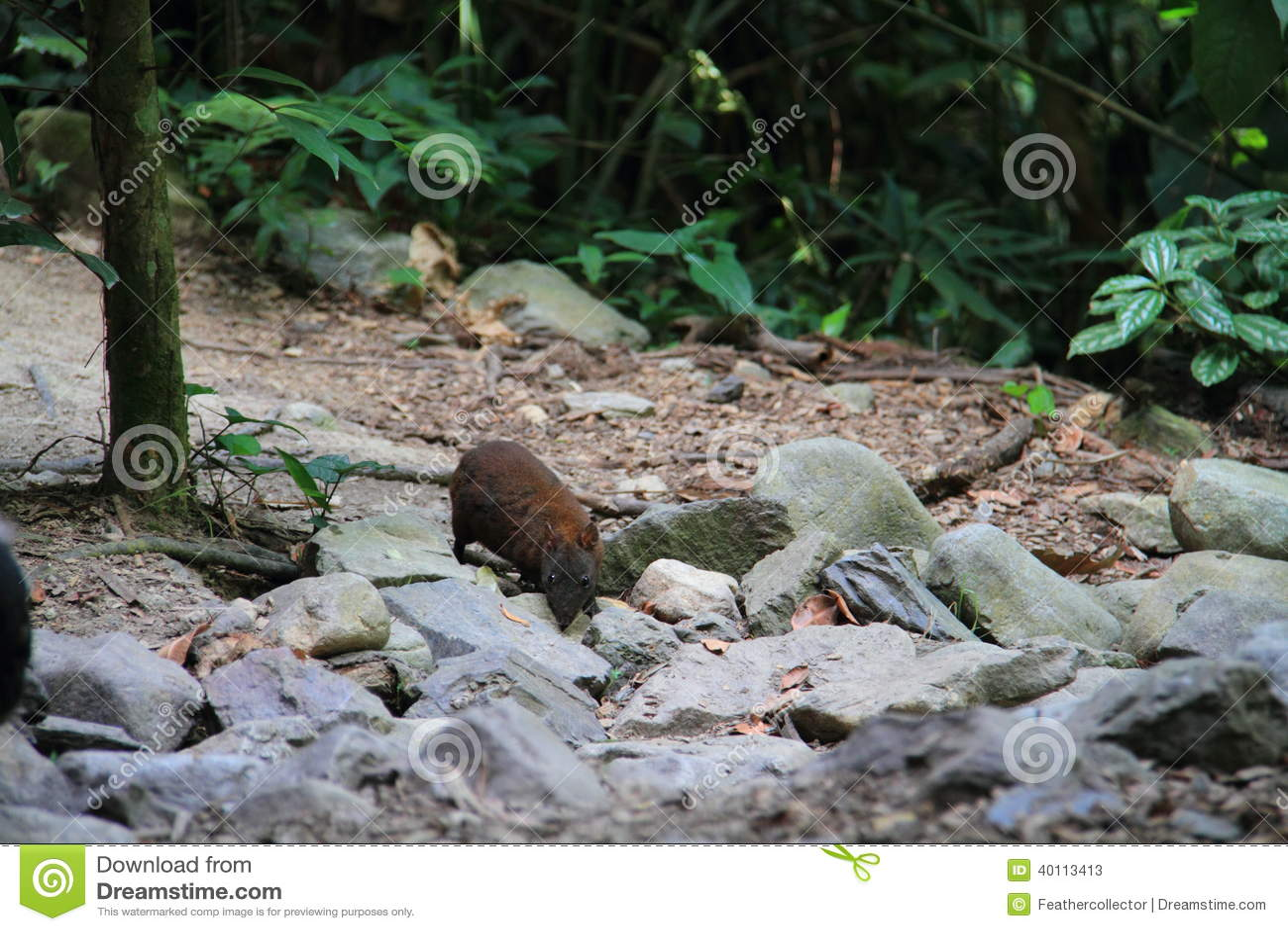 Moschusartiger Ratte-Känguru