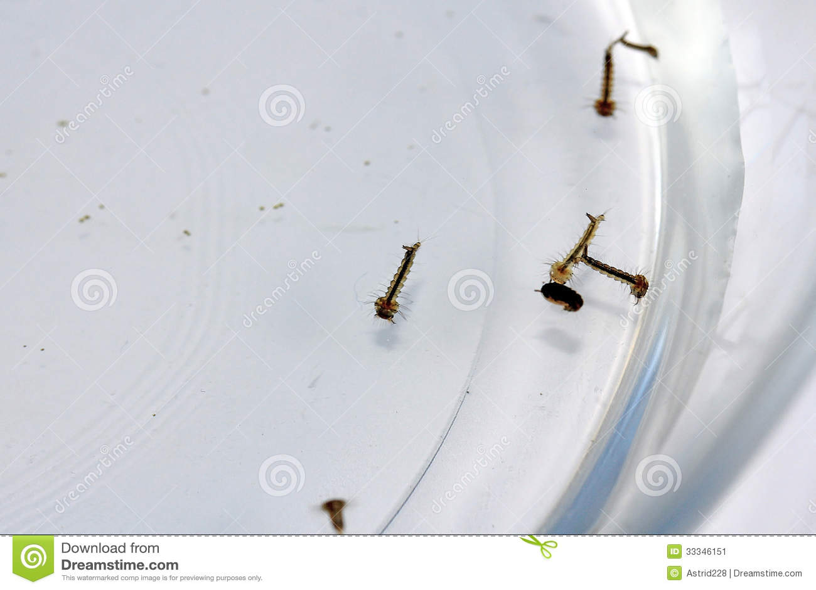 Moskitolarven stockbild bild 33346151 for Larve zanzare