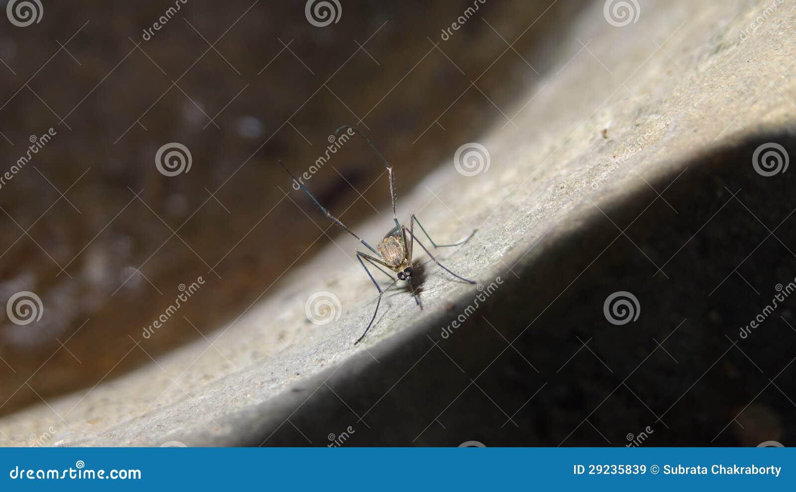 Download Mosquito imagem de stock. Imagem de vírus, menor, ferocious - 29235839