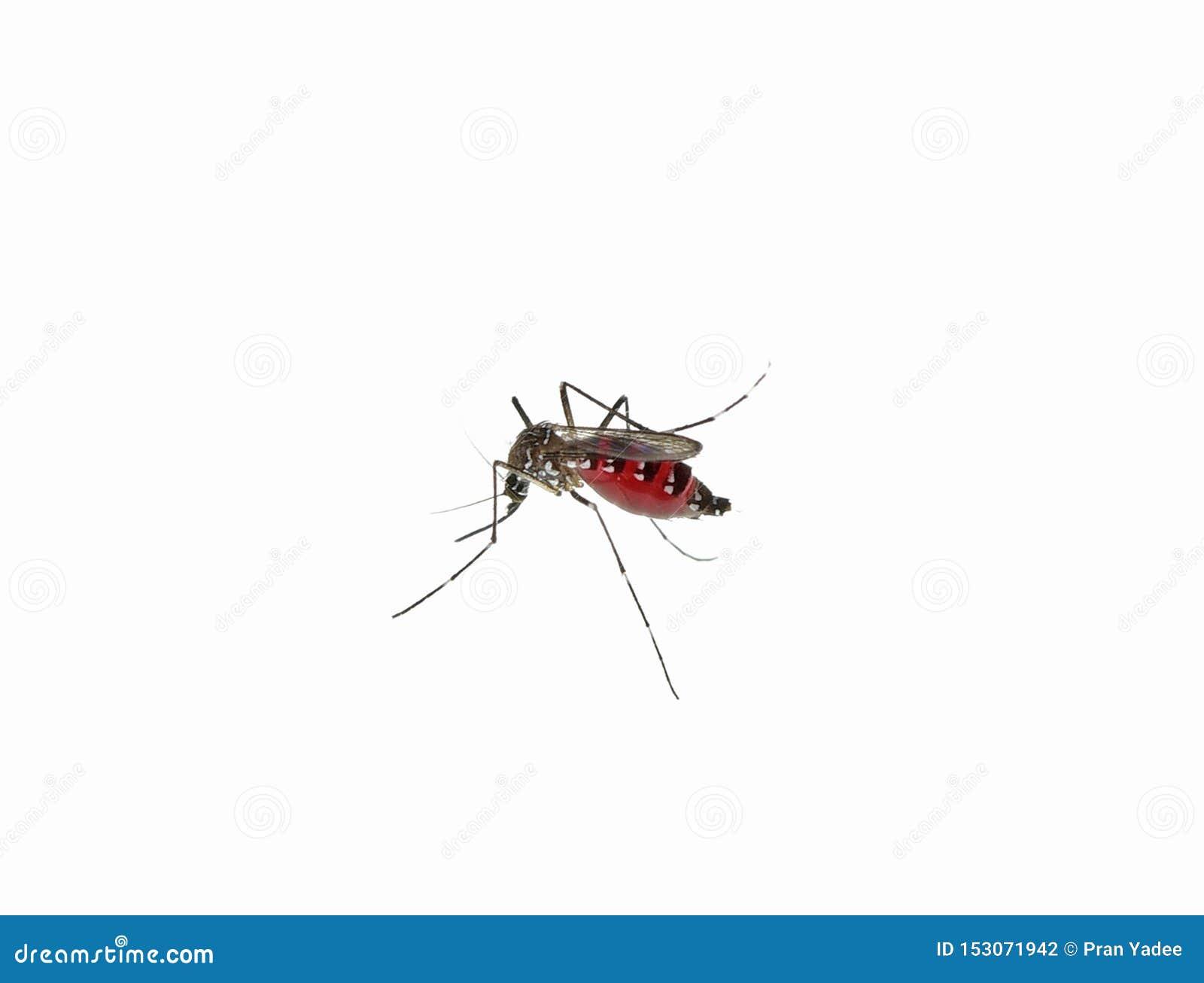 Mosquito aislado en el fondo blanco