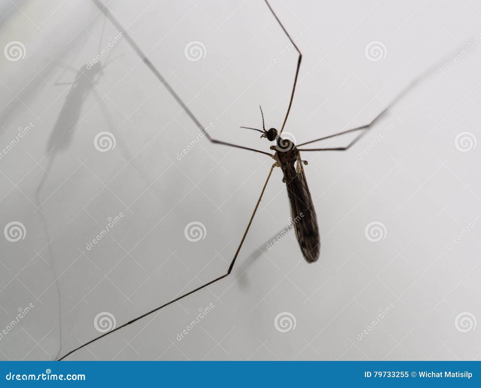 Mosquito de las Papá-largo-piernas