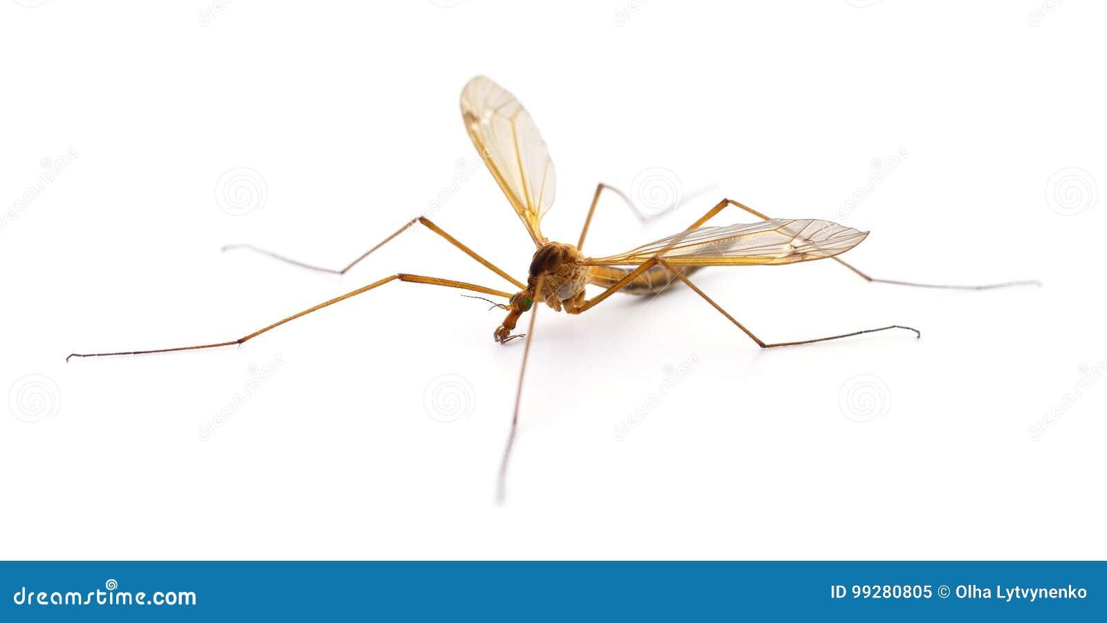 Mosquito del insecto