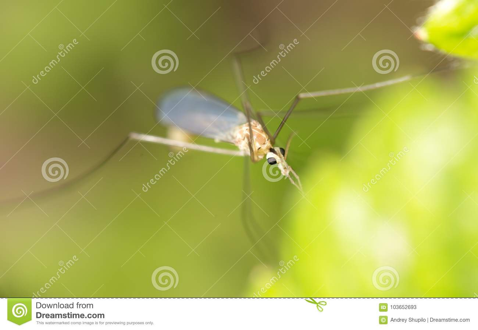 Mosquito en naturaleza Macro