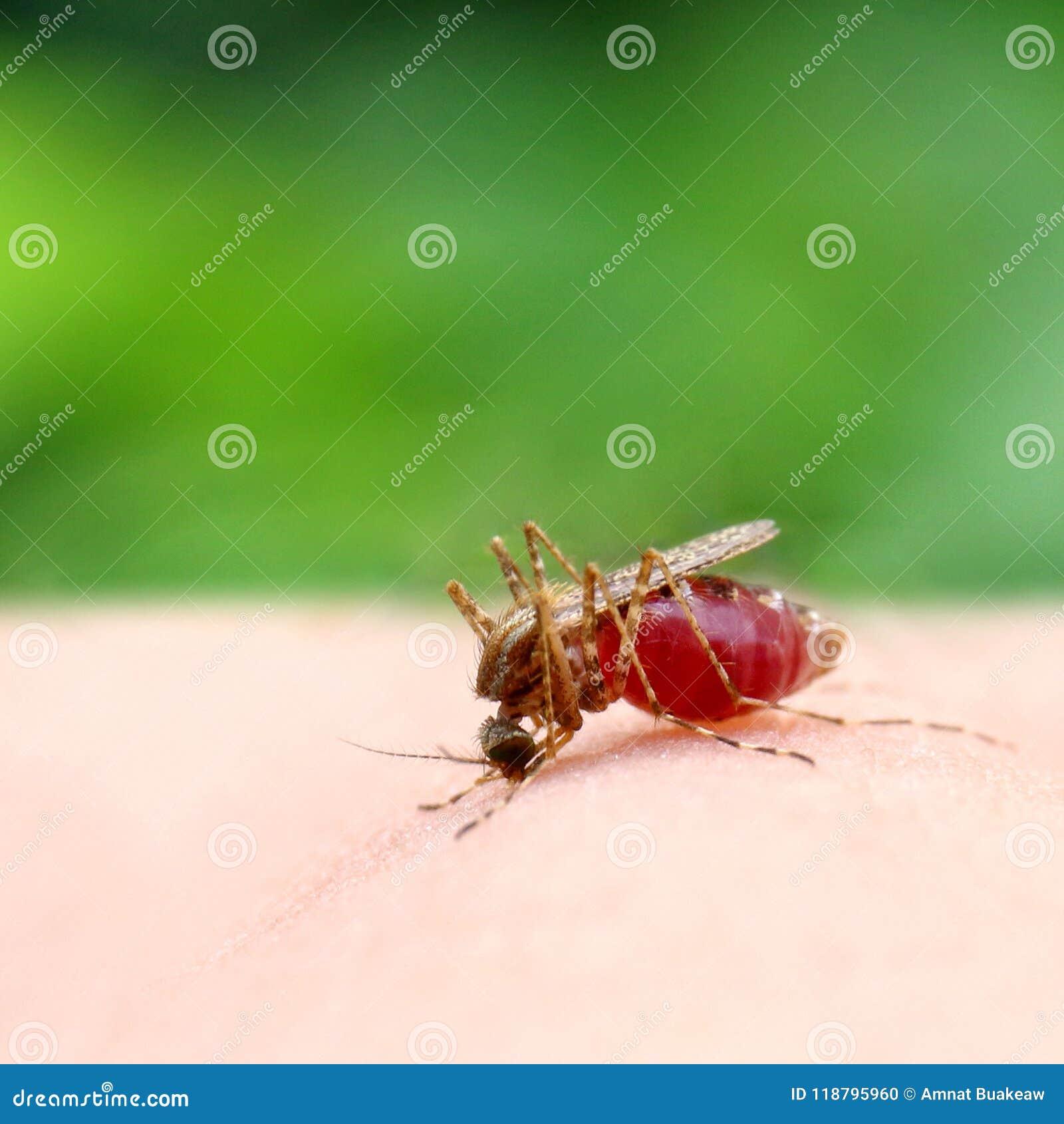Mosquito, fim de sugação do vermelho do sangue do mosquito acima do foco seletivo