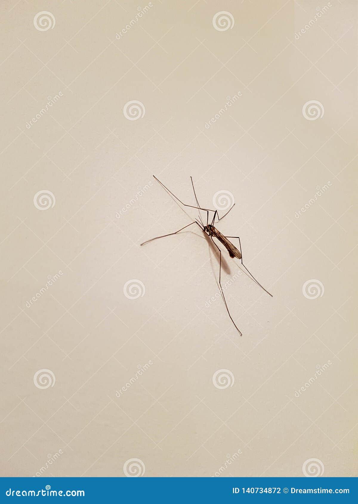 Mosquito grande en una pared