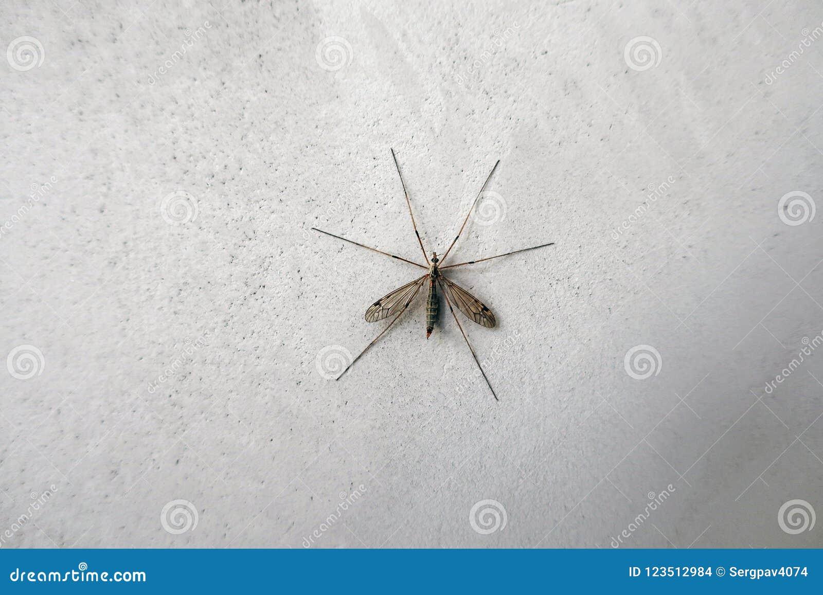 Mosquito grande na parede