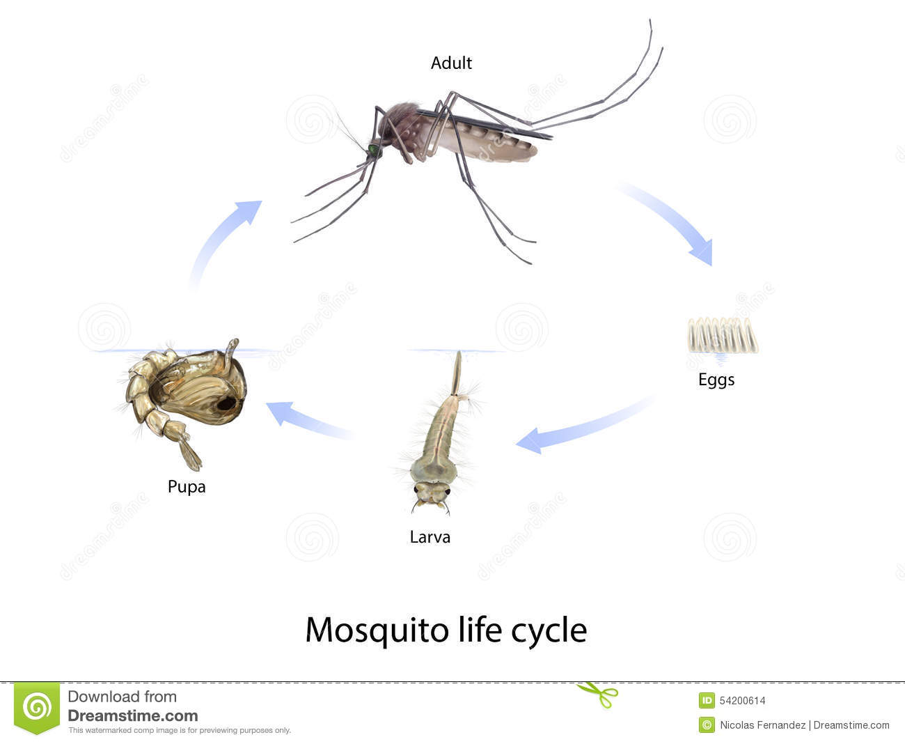 Imágenes Zancudo Para Niños: Mosquito Life Cycle Stock Illustration. Illustration Of
