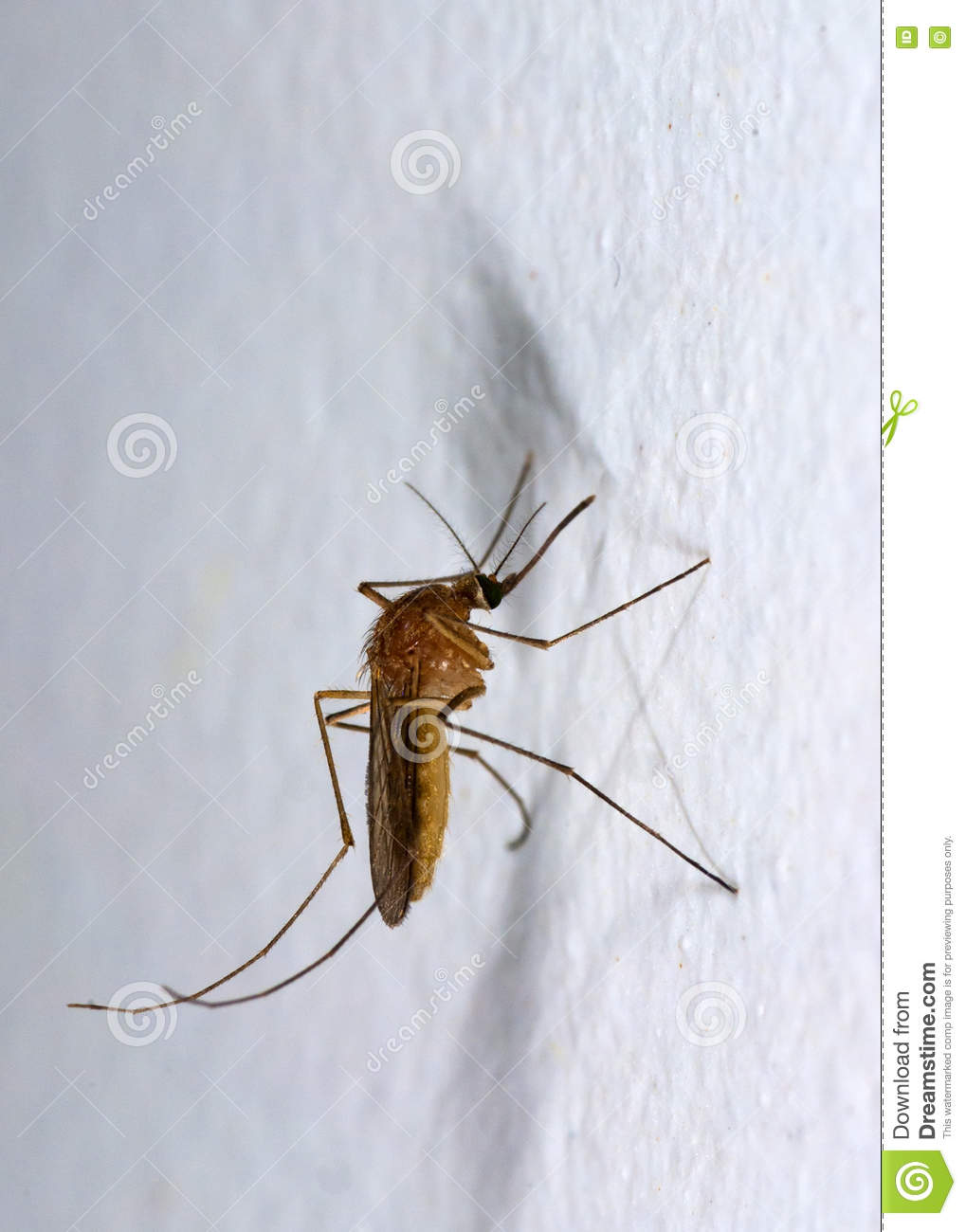Mosquito on white wall