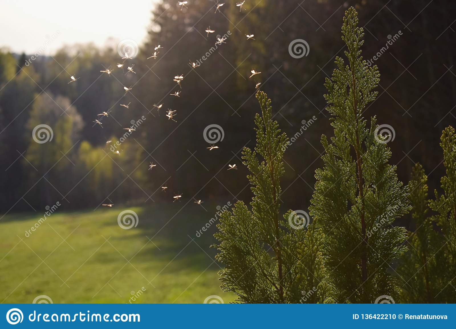Mosquitos que voam na luz do por do sol