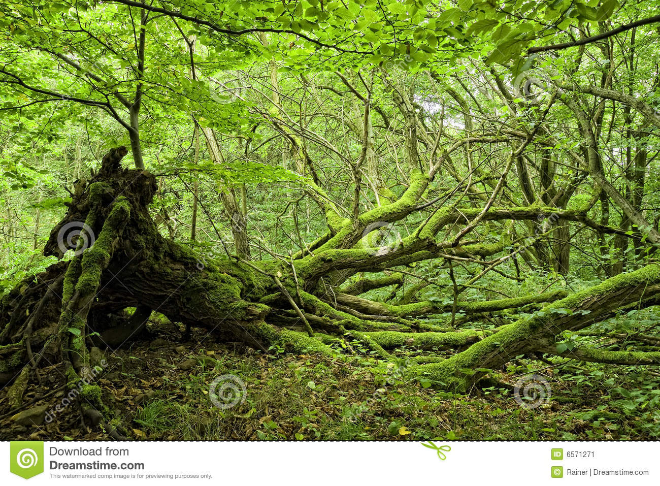 Moss covered trees in forest stock image image of for What is a tree trunk covered with 4 letters