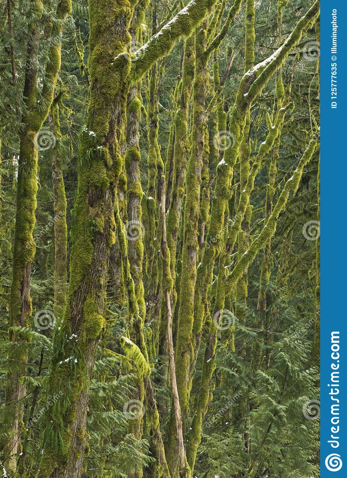 Moss covered trees in a mixed forest, near Squamish, British Columbia, Canada.