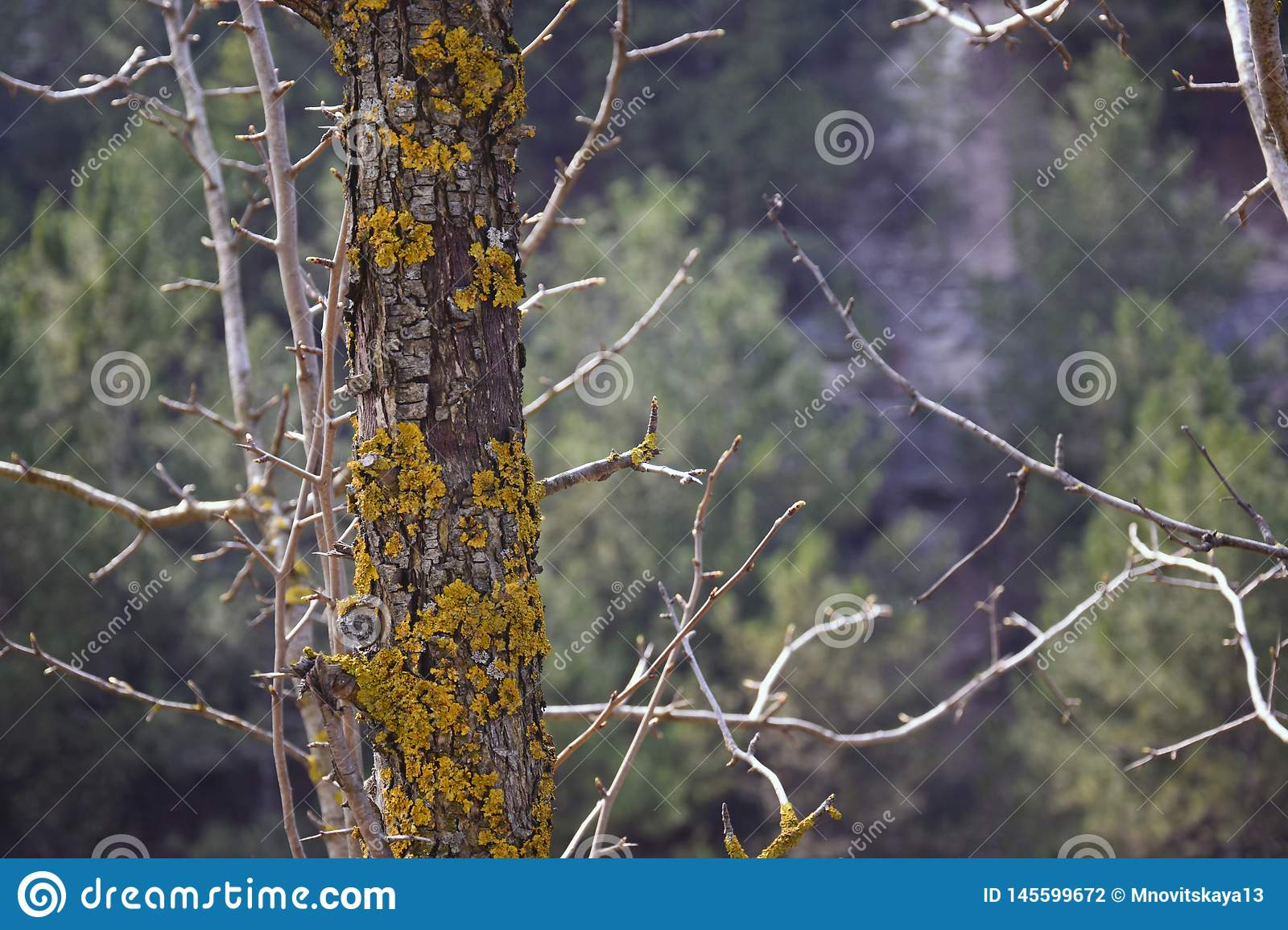 A moss-covered trunk of a wild pear