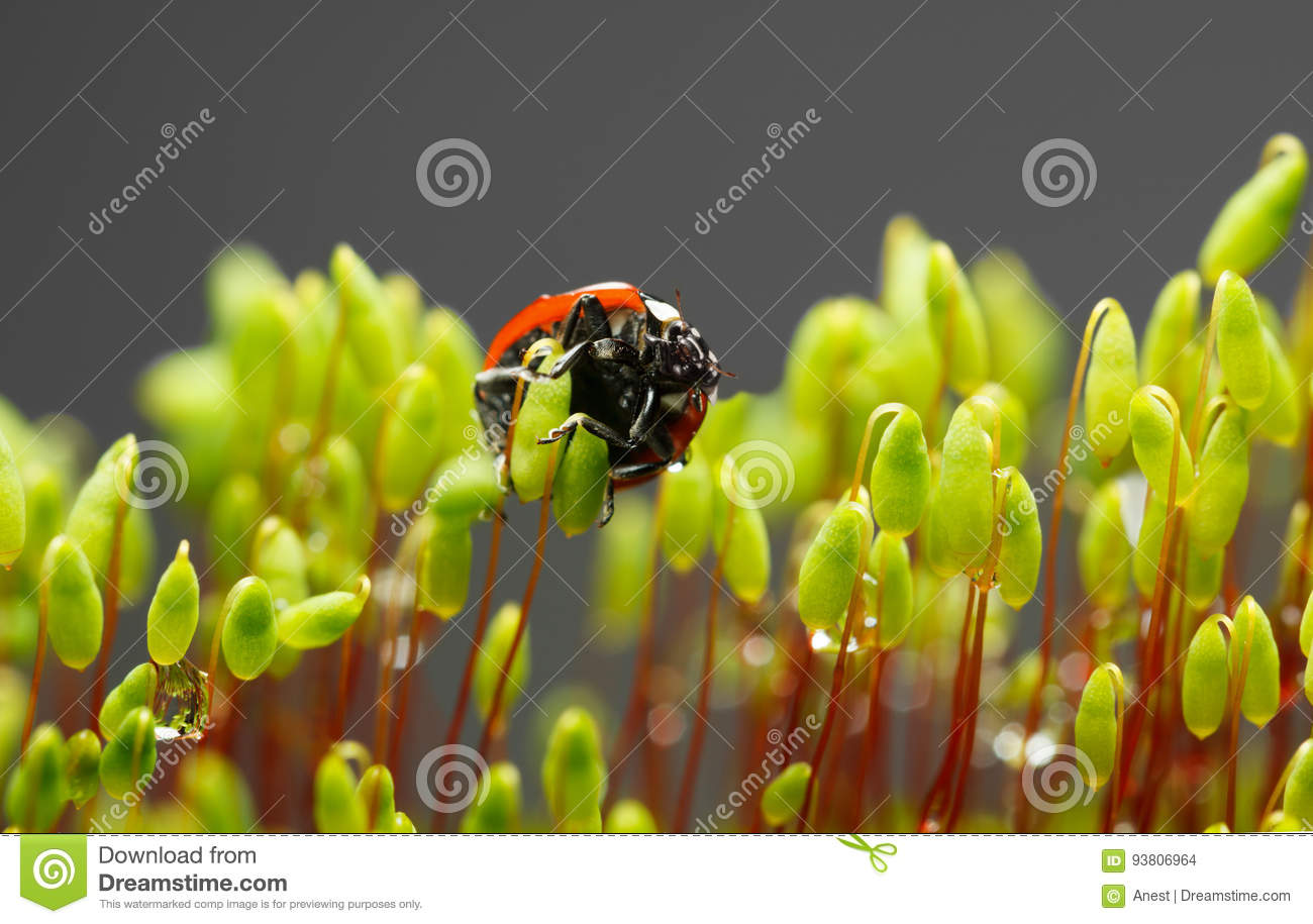 Moss And Ladybug Underside View After Rain Stock Photo Image Of