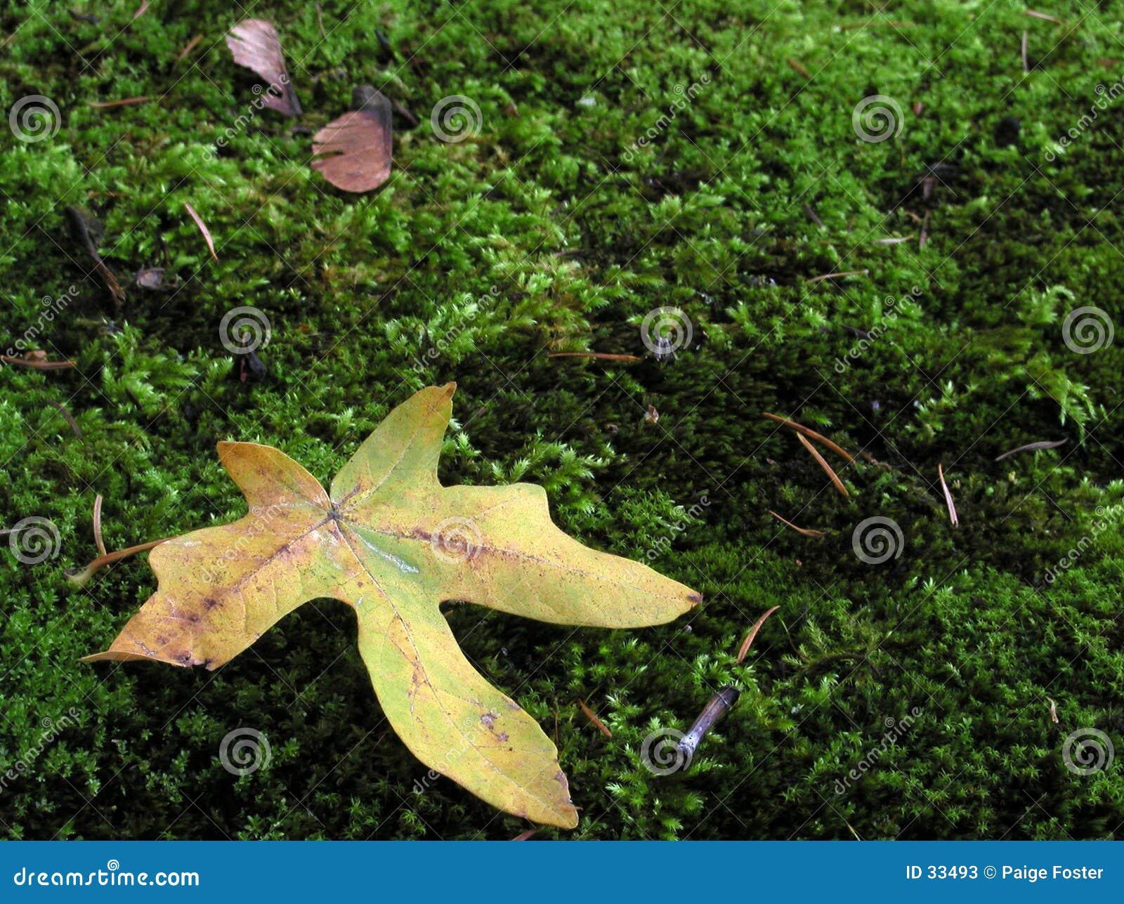 Moss liści