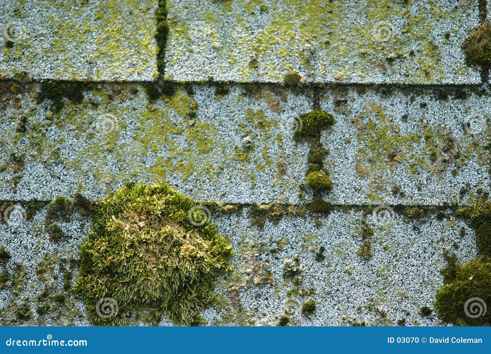 Moss półpasiec