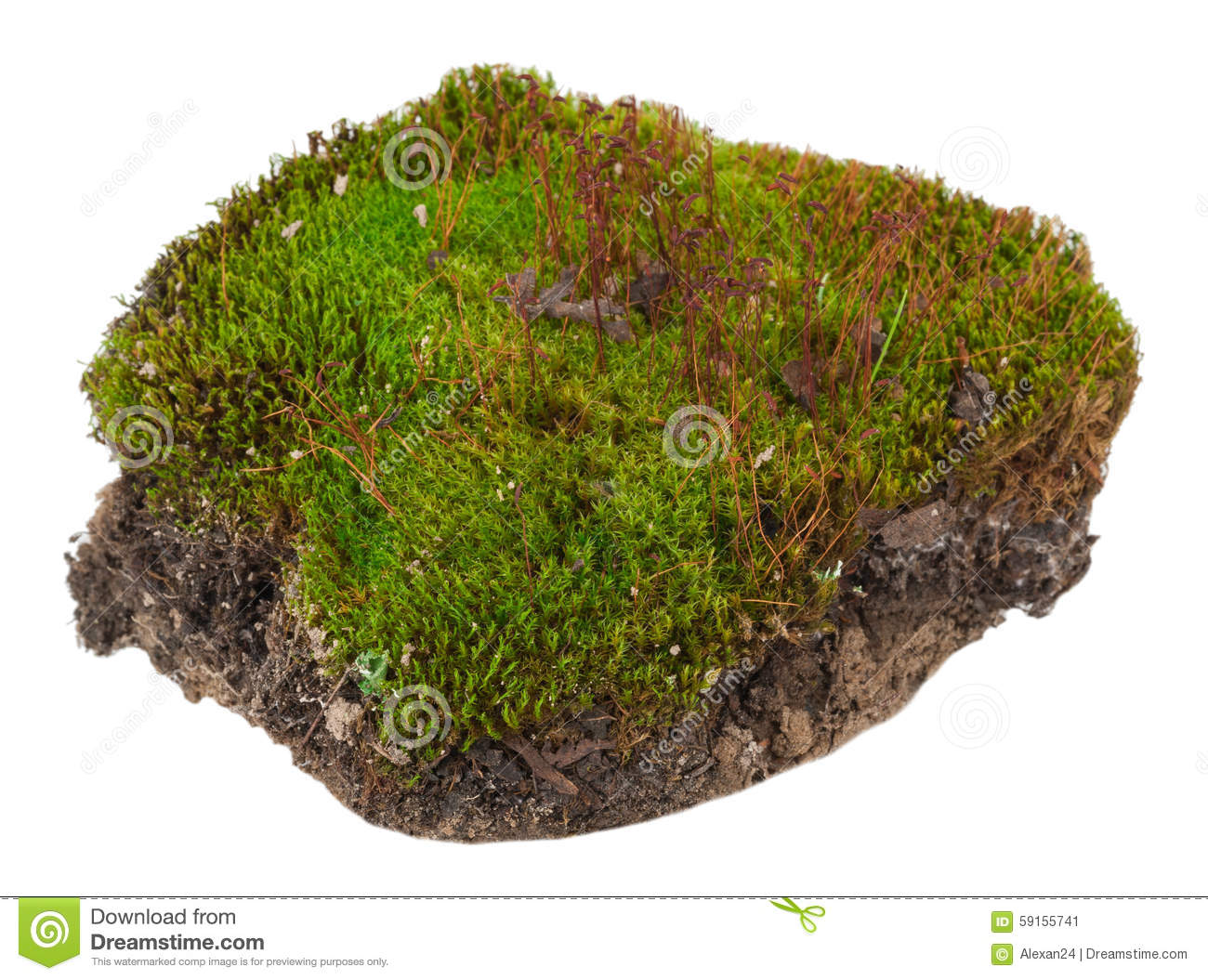 Moss  Polytrichum Commune Stock Image  Image Of Field