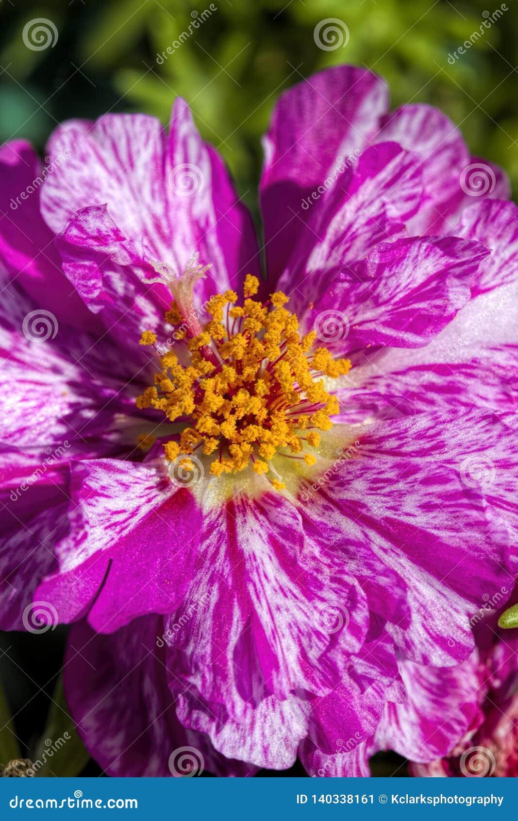 Moss Rose Blossom variado del rosa y blanco