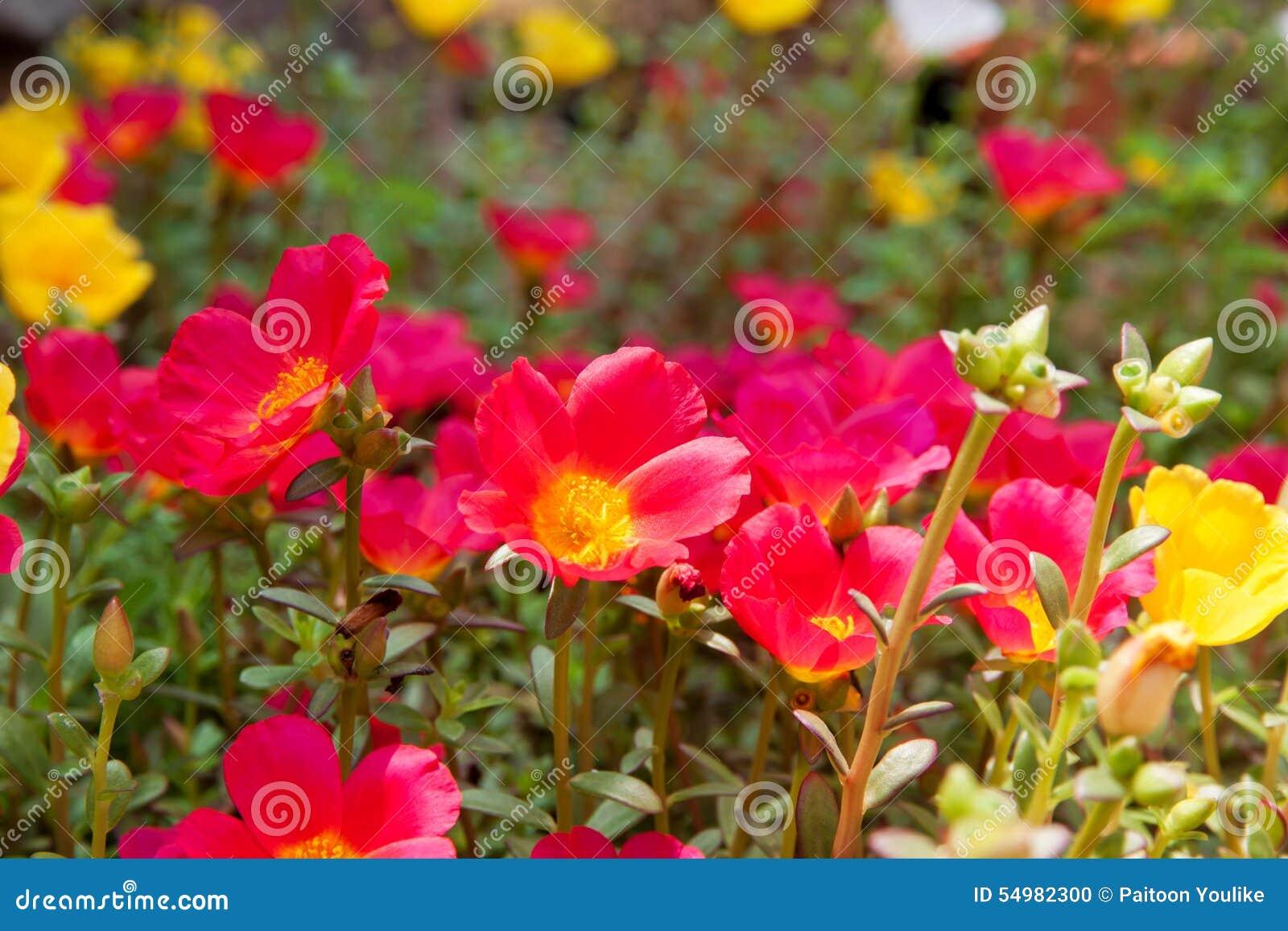 Moss Rose gul och röd färg i trädgård