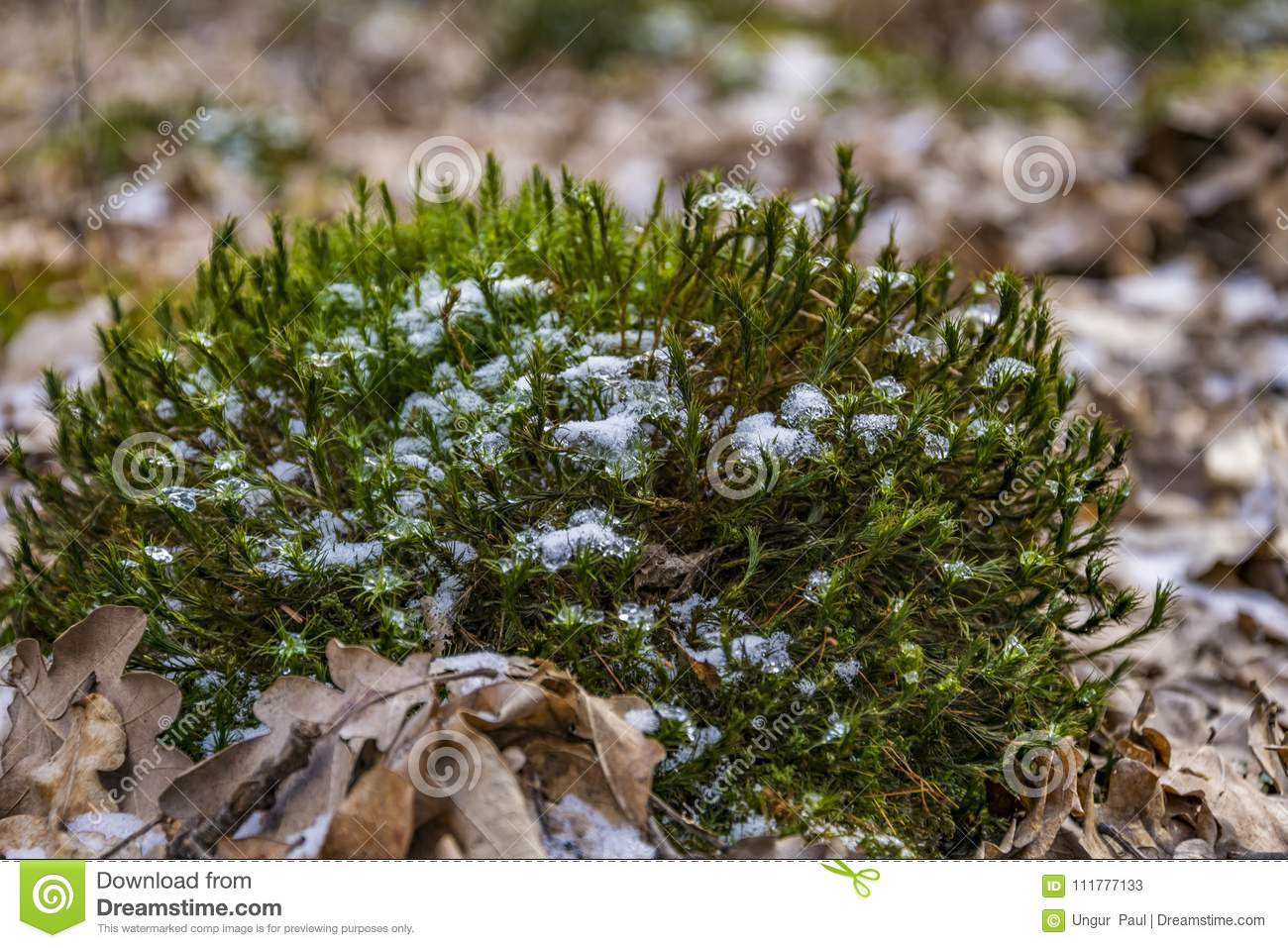 Moss with snow close up