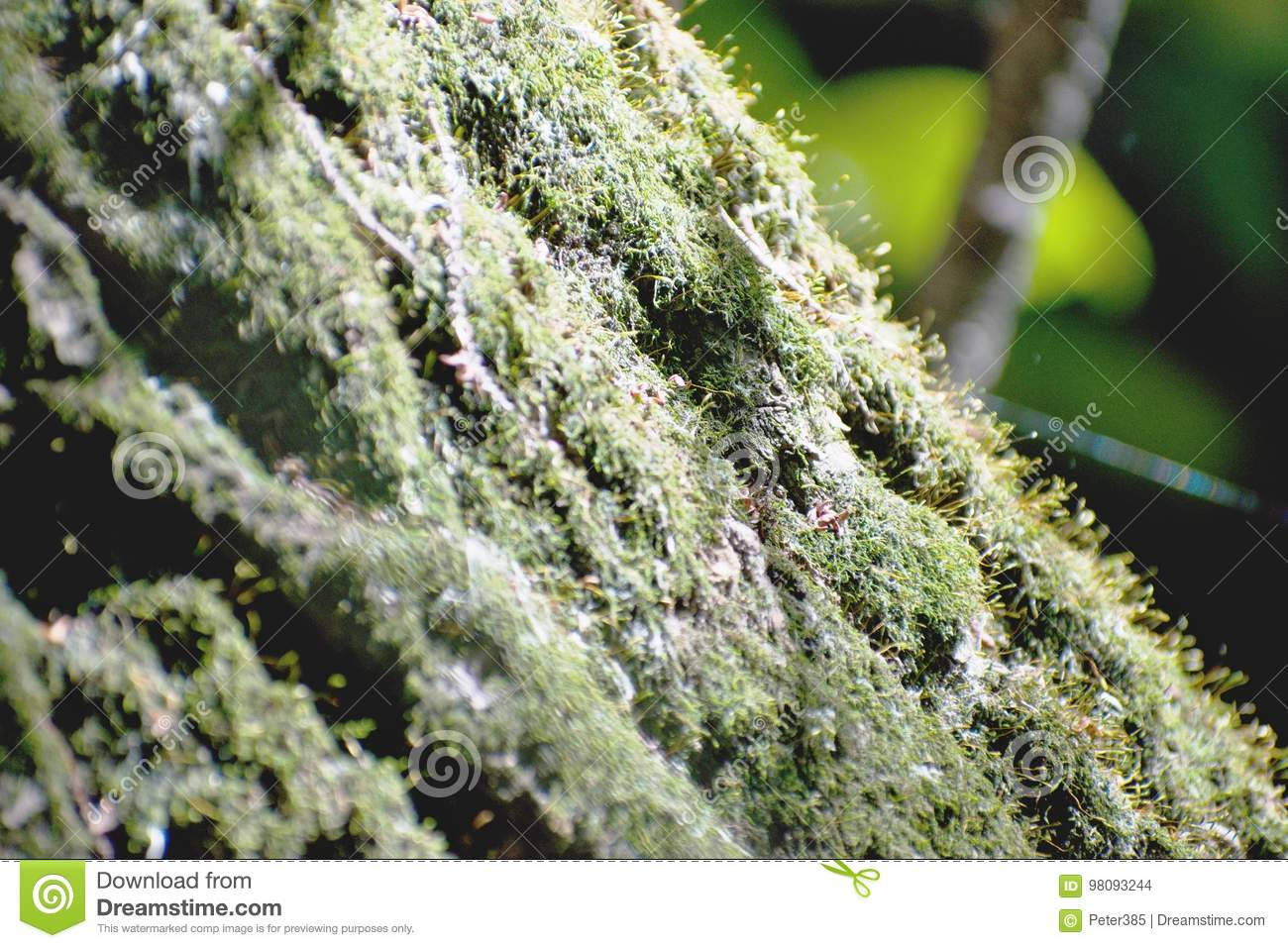 Download Mosses stock photo. Image of moss, mosses, mats, typically - 98093244