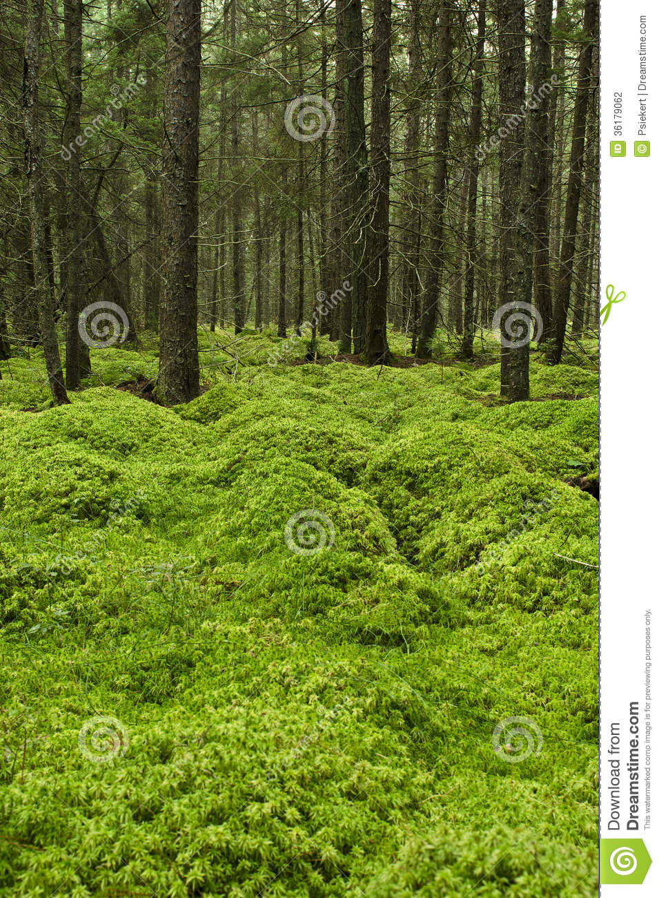 Mossy Forest Floor Stock Photo Image Of Green Mossy