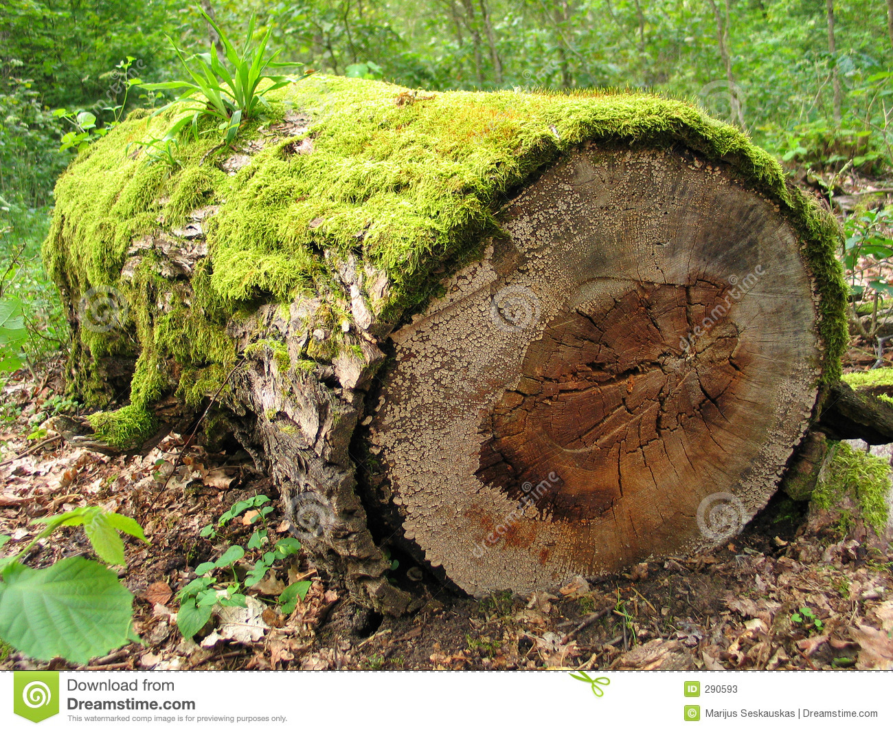 Mossy Log Stock Photos Image 290593