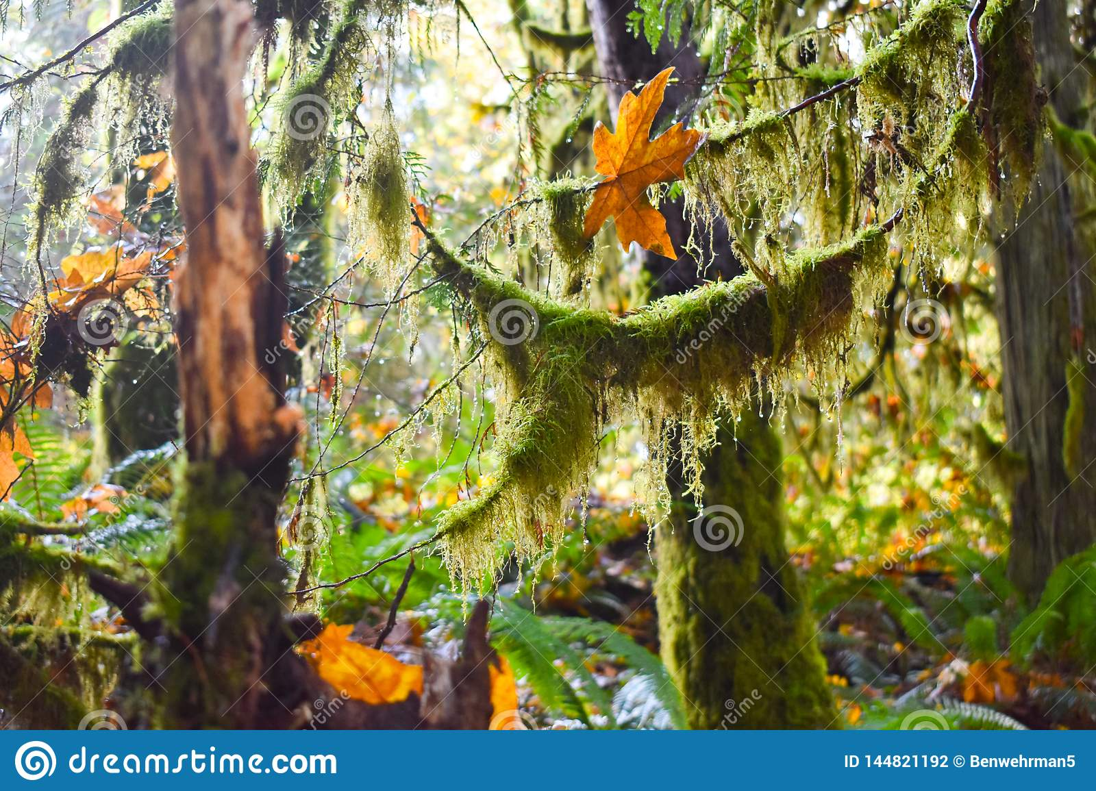 Mossy Trees in the Rainforest