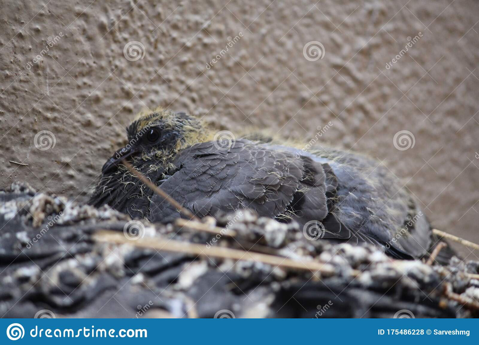 Most Beautiful Baby Pigeon Is Being Taken Care By Their ...