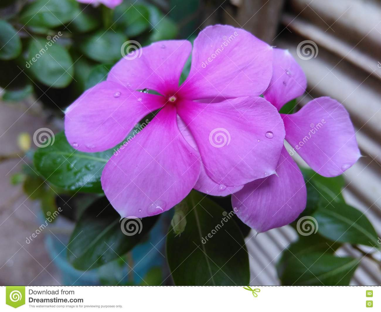 The Most Beautiful Flower Of The World Stock Photo Image Of Season