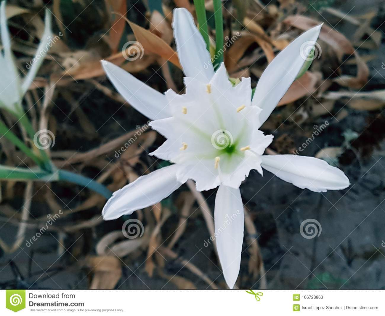 The most beautiful flower in the world stock image image of most download the most beautiful flower in the world stock image image of most grows izmirmasajfo