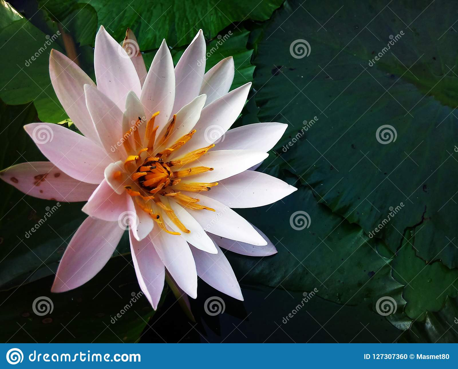 The Most Beautiful Lotus Flower Stock Photo Image Of Most