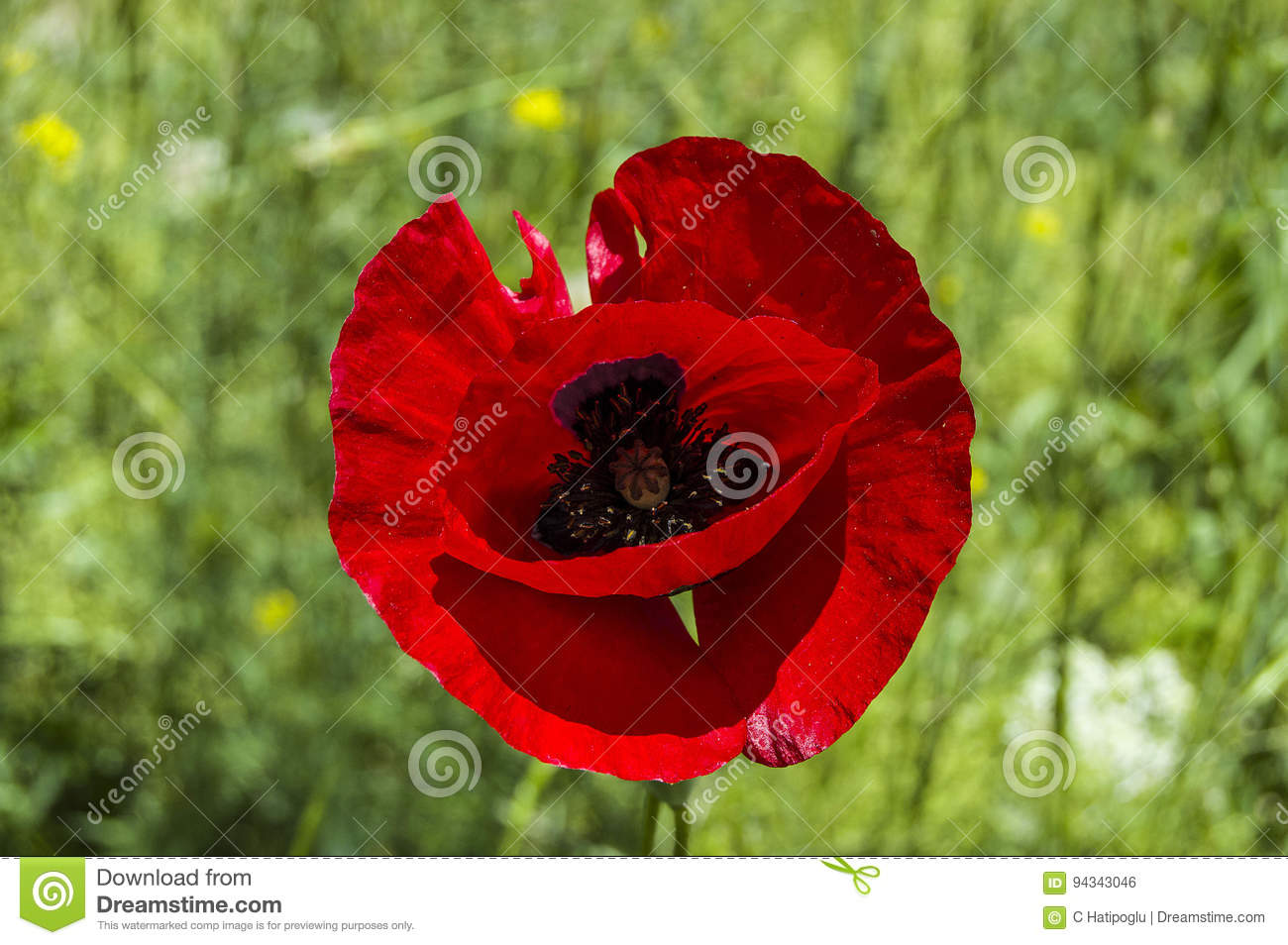 The most beautiful poppy flowers growing in natural environment in download the most beautiful poppy flowers growing in natural environment in spring season stock photo mightylinksfo