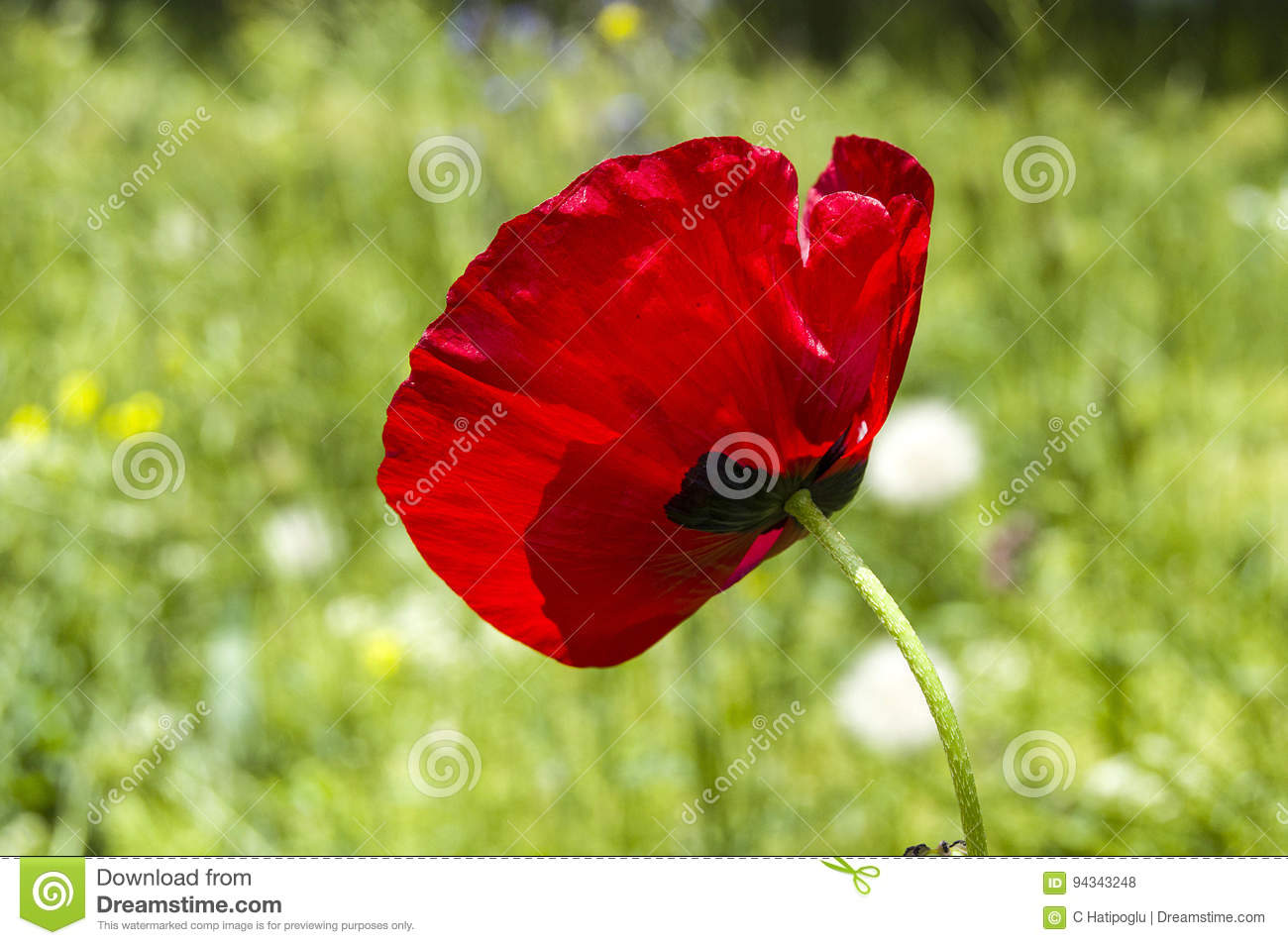 The Most Beautiful Poppy Flowers Growing In Natural Environment In