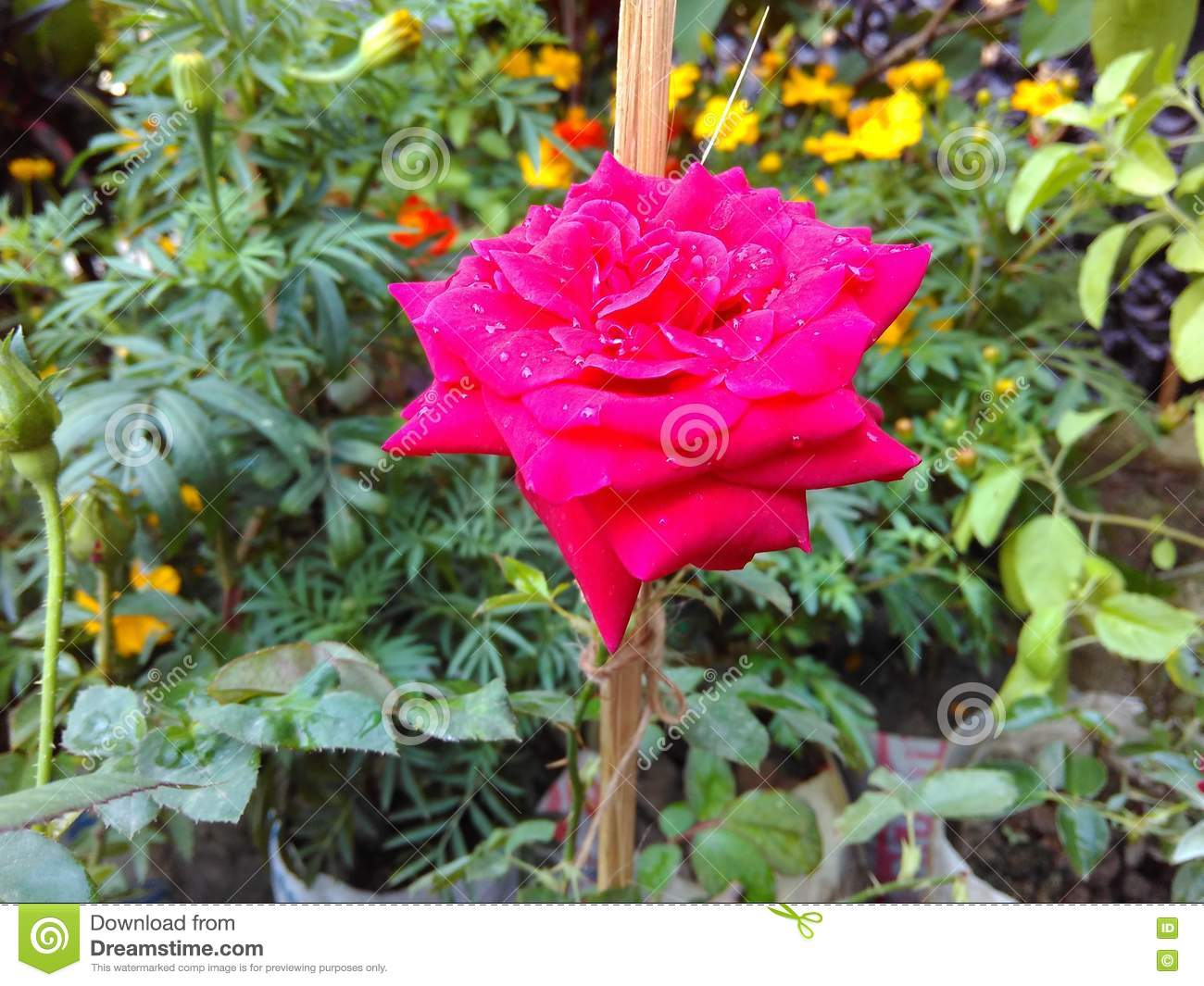The Most Beautiful Rose Stock Photo Image Of Flora European 81042564