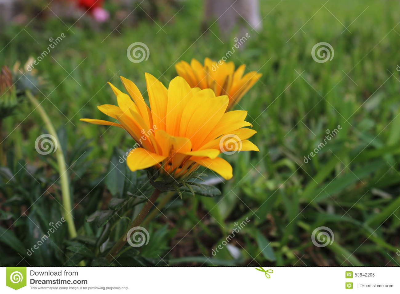 Most beautiful yellow daisy flower stock image image of plant most beautiful yellow daisy flower izmirmasajfo