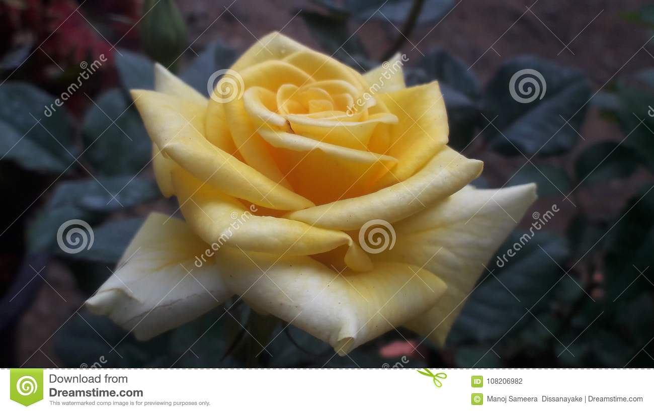 Most Beautiful Yellow Rose Stock Photo Image Of Garden 108206982