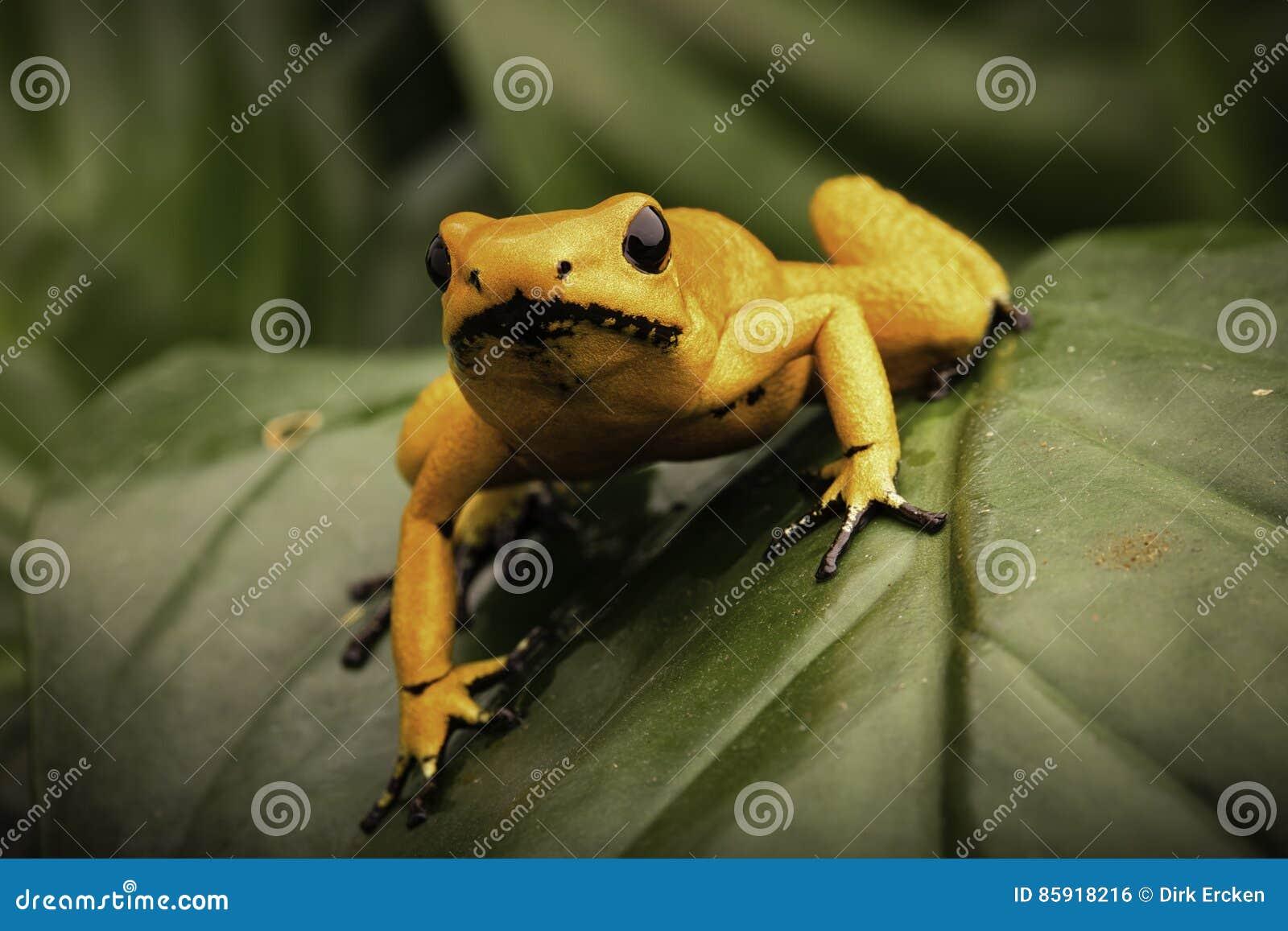 Most poisonous poison dart frog Phyllobates terribilis
