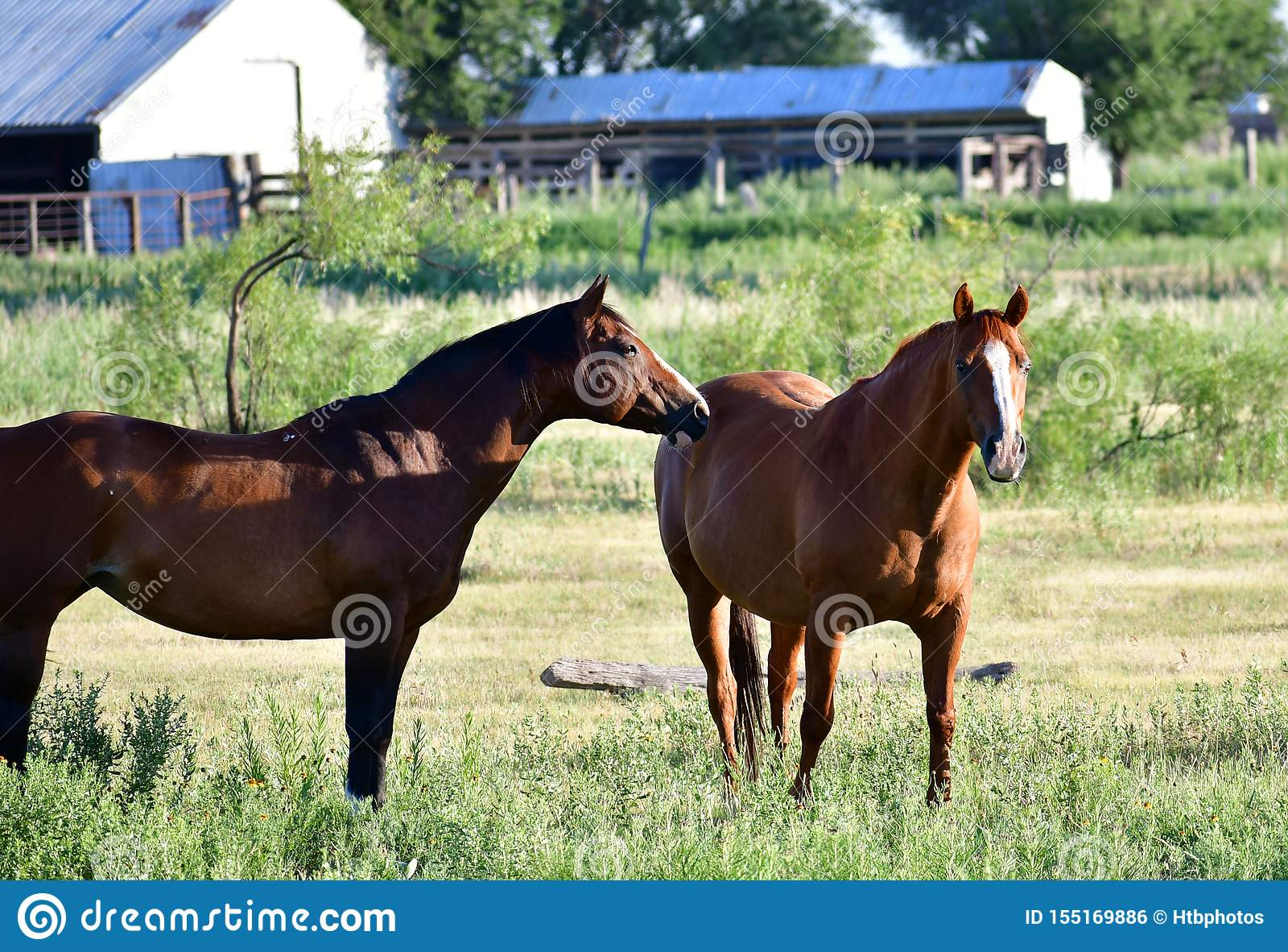 American Quarter Horse In A Field With Horse Trailer Stock Photo Image Of Ears Feeding 155169886