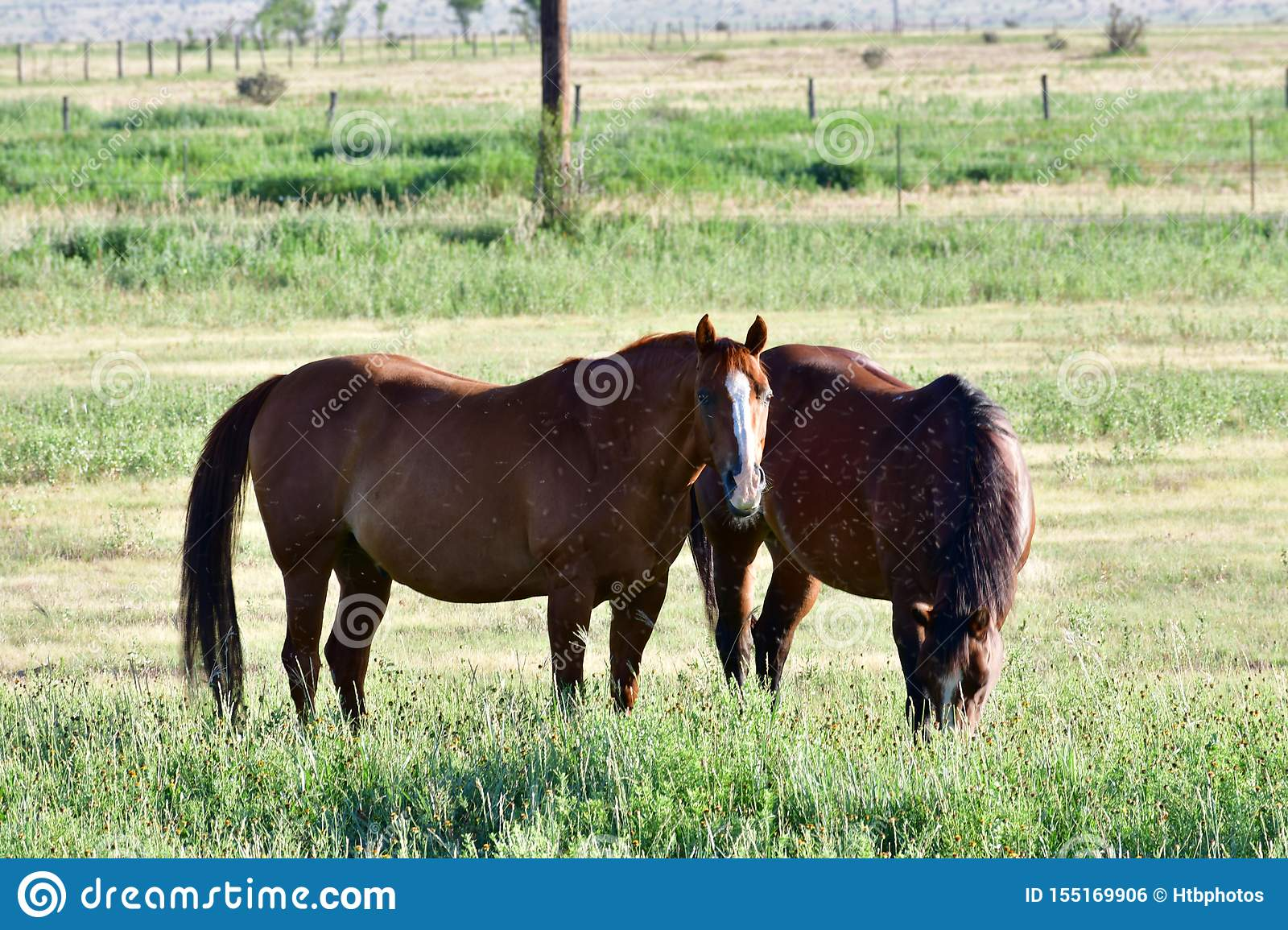American Quarter Horse In A Field With Horse Trailer Stock Photo Image Of Distances Grain 155169906