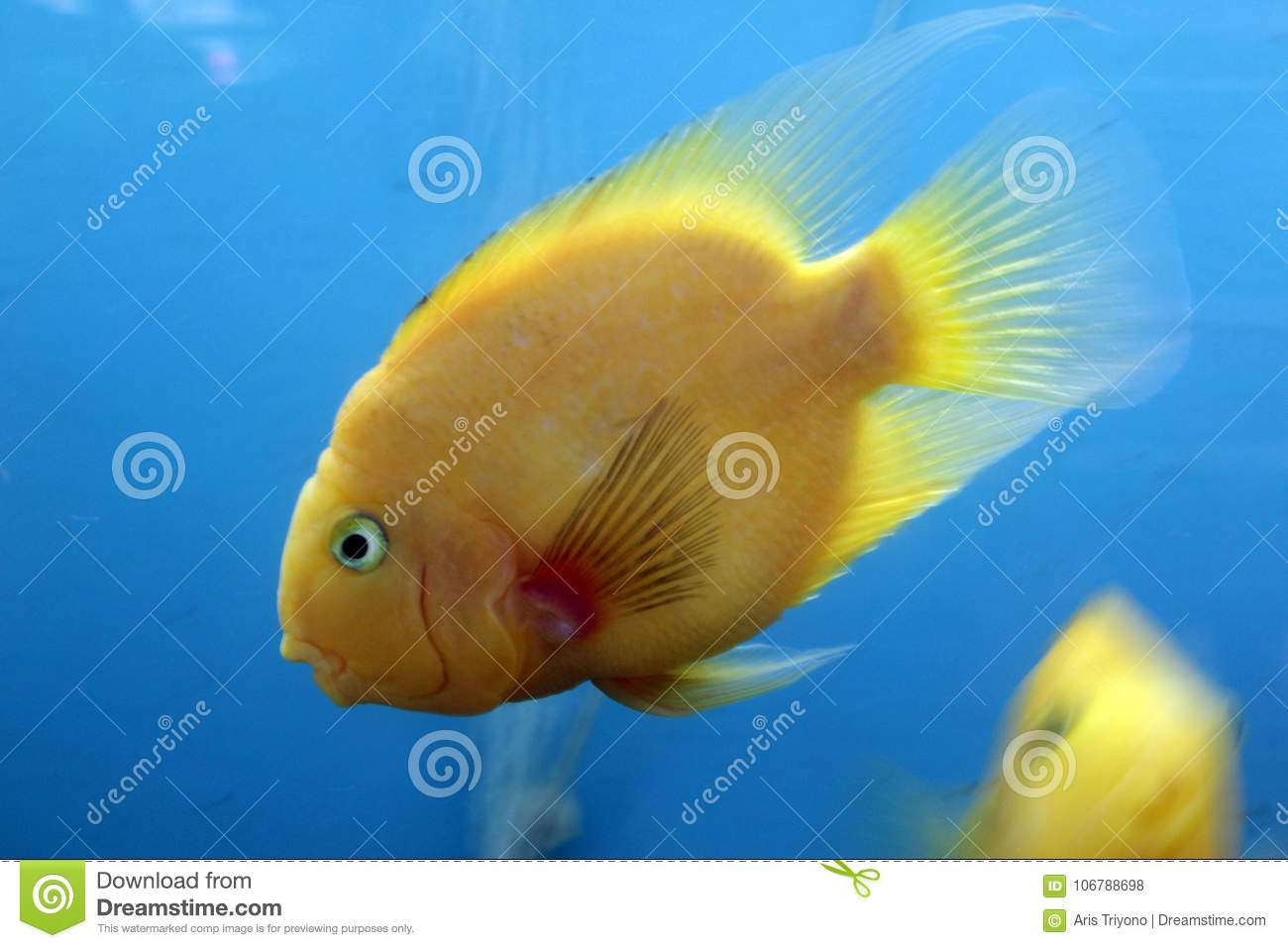 Tropical Fish From Asia Stock Photo Image Of Carp Exotic 106788698