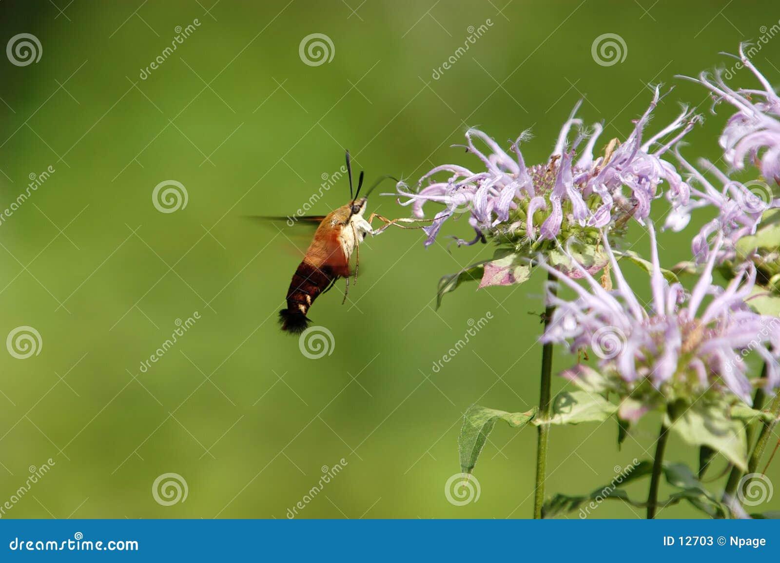 Moth III