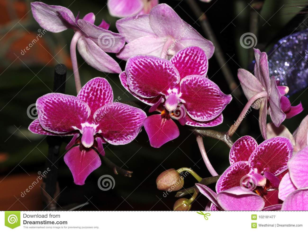 Moth orchid small flowered red cultivar, Phalaenopsis