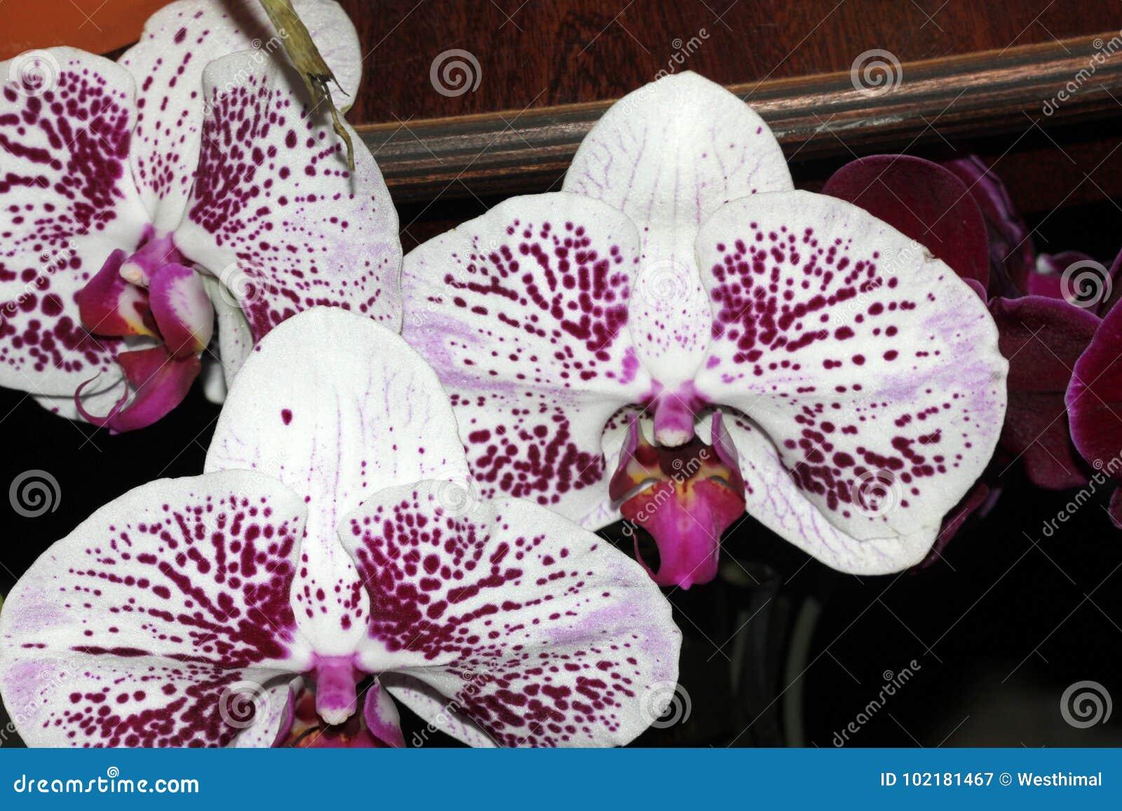 Moth orchid white mottled cultivar, Phalaenopsis