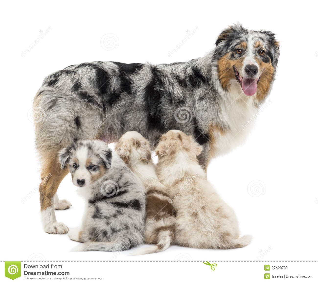 Royalty Free Stock Images: Mother Australian shepherd with three ...