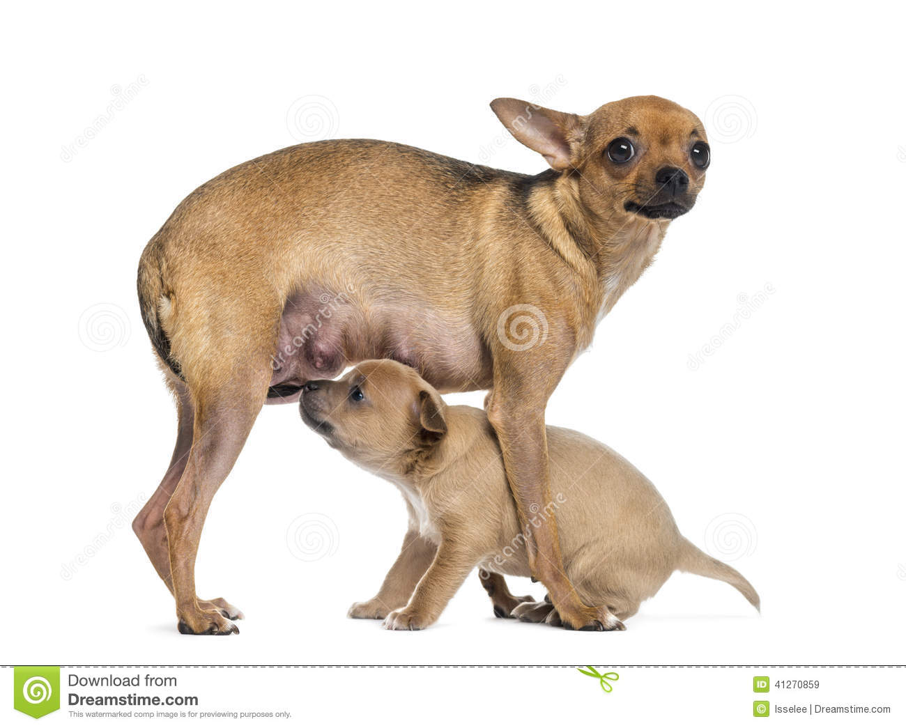 Mother and baby chihuahua stock image. Image of chihuahua ...