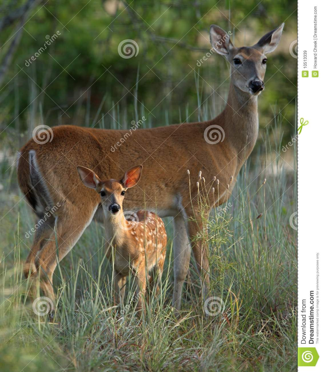 Mother and baby deer stock image. Image of deer, morning ...